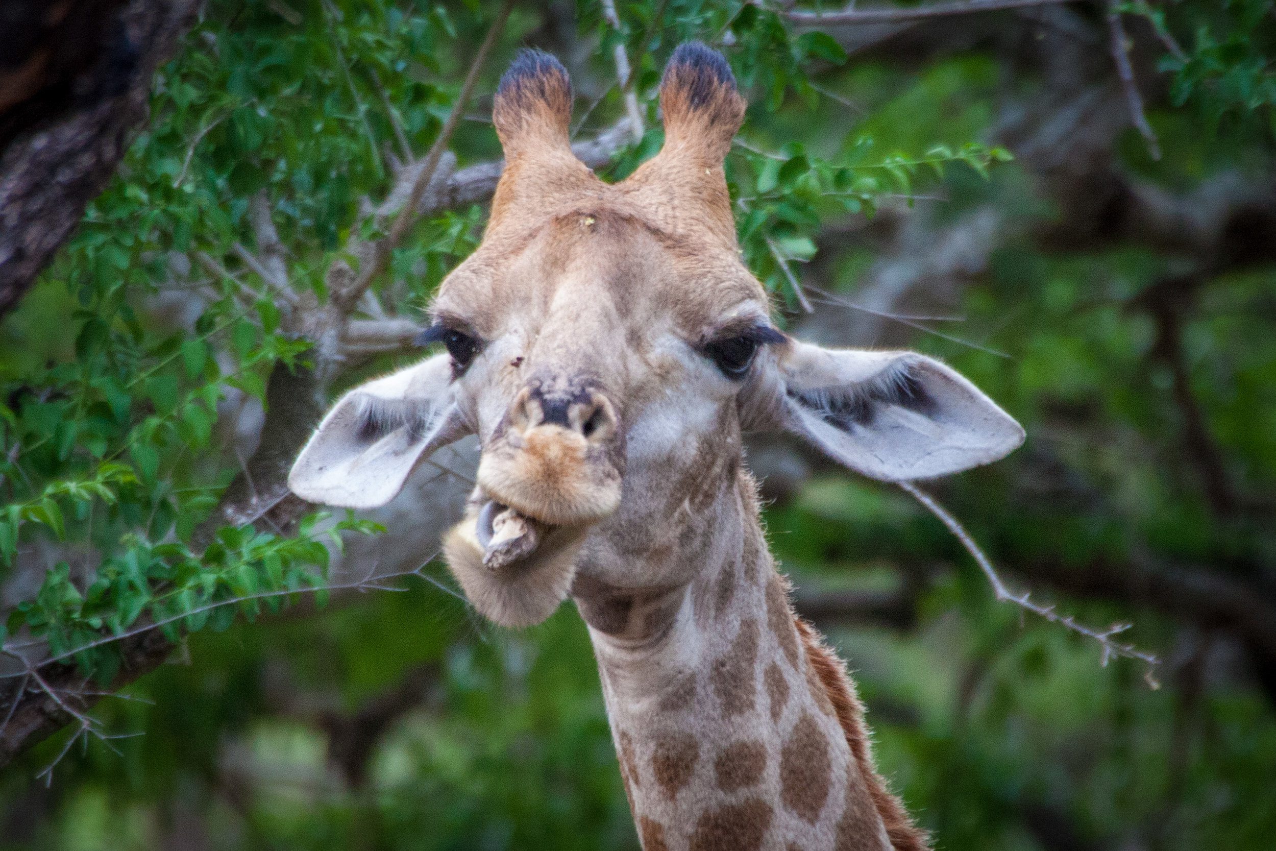A South African giraffe (G. c. giraffa) at Ndumo Reserve, KwaZulu-Natal South Africa. This giraffe is sucking on a bone to supplement its diet with minerals. This is called osteophagia.