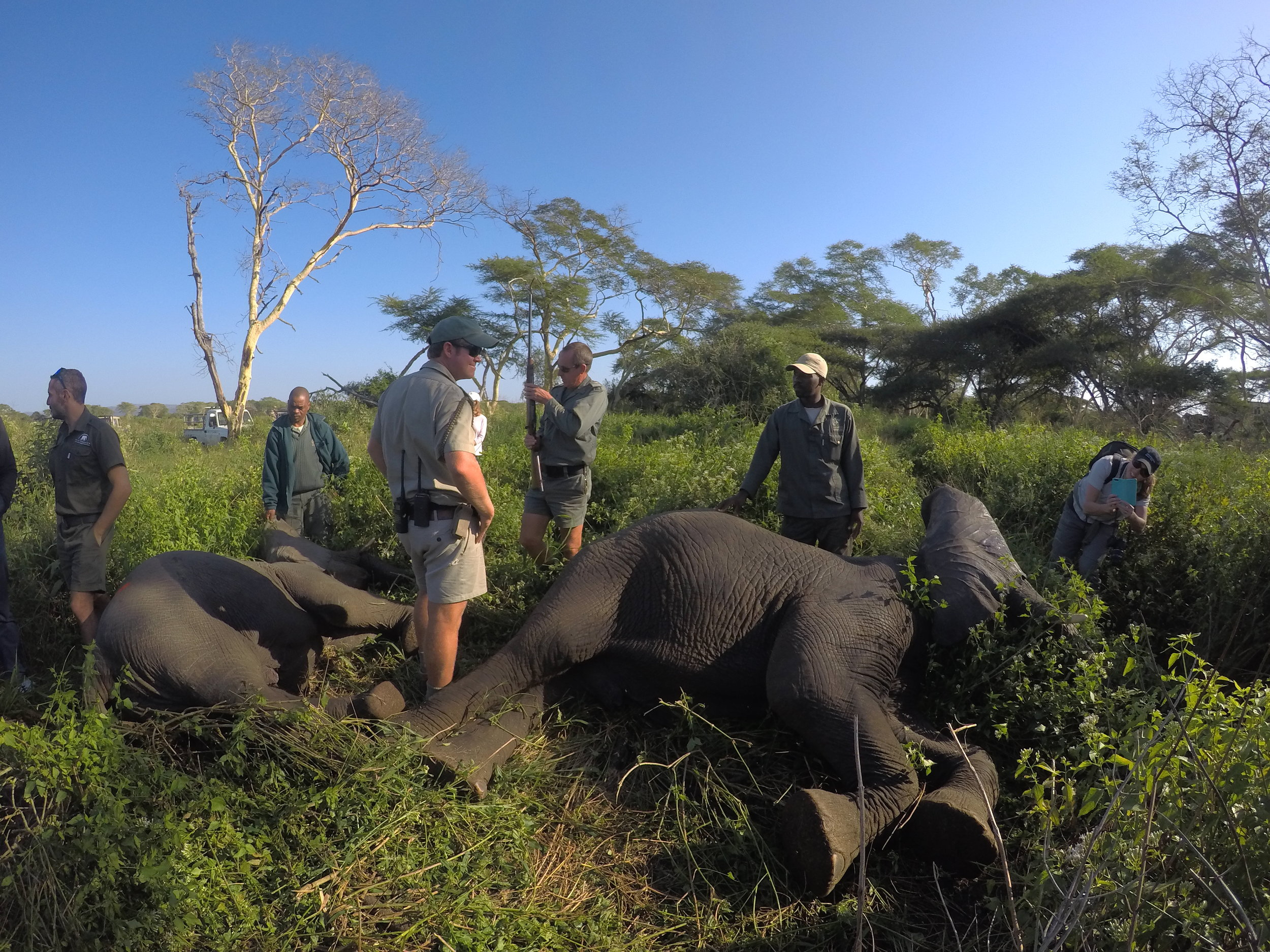 Ground crews arrive on the scene and begin to stabilize the elephants.