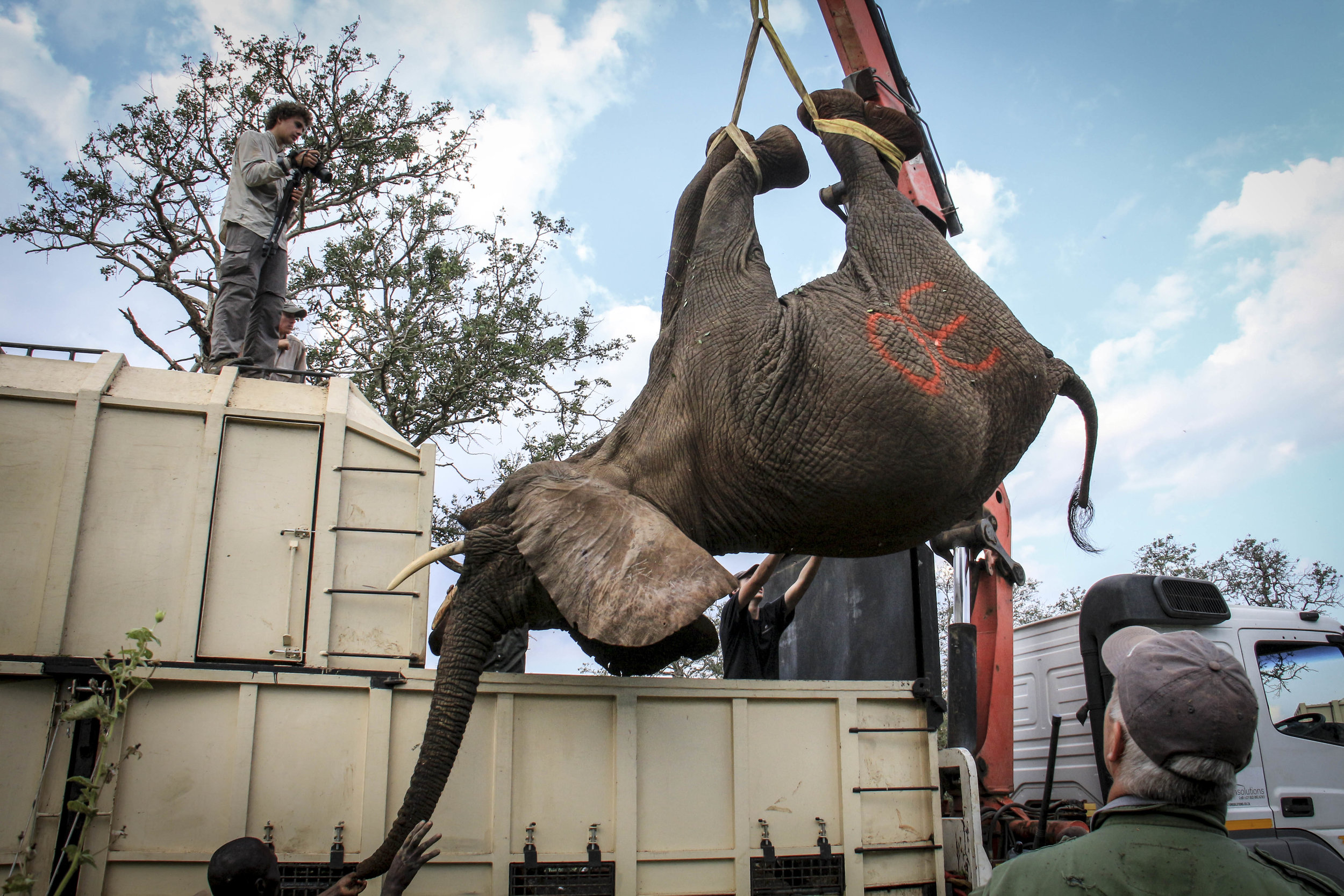 Elephant Number 30 being moved onto the truck. Photo credit: iSimangaliso Wetland Park