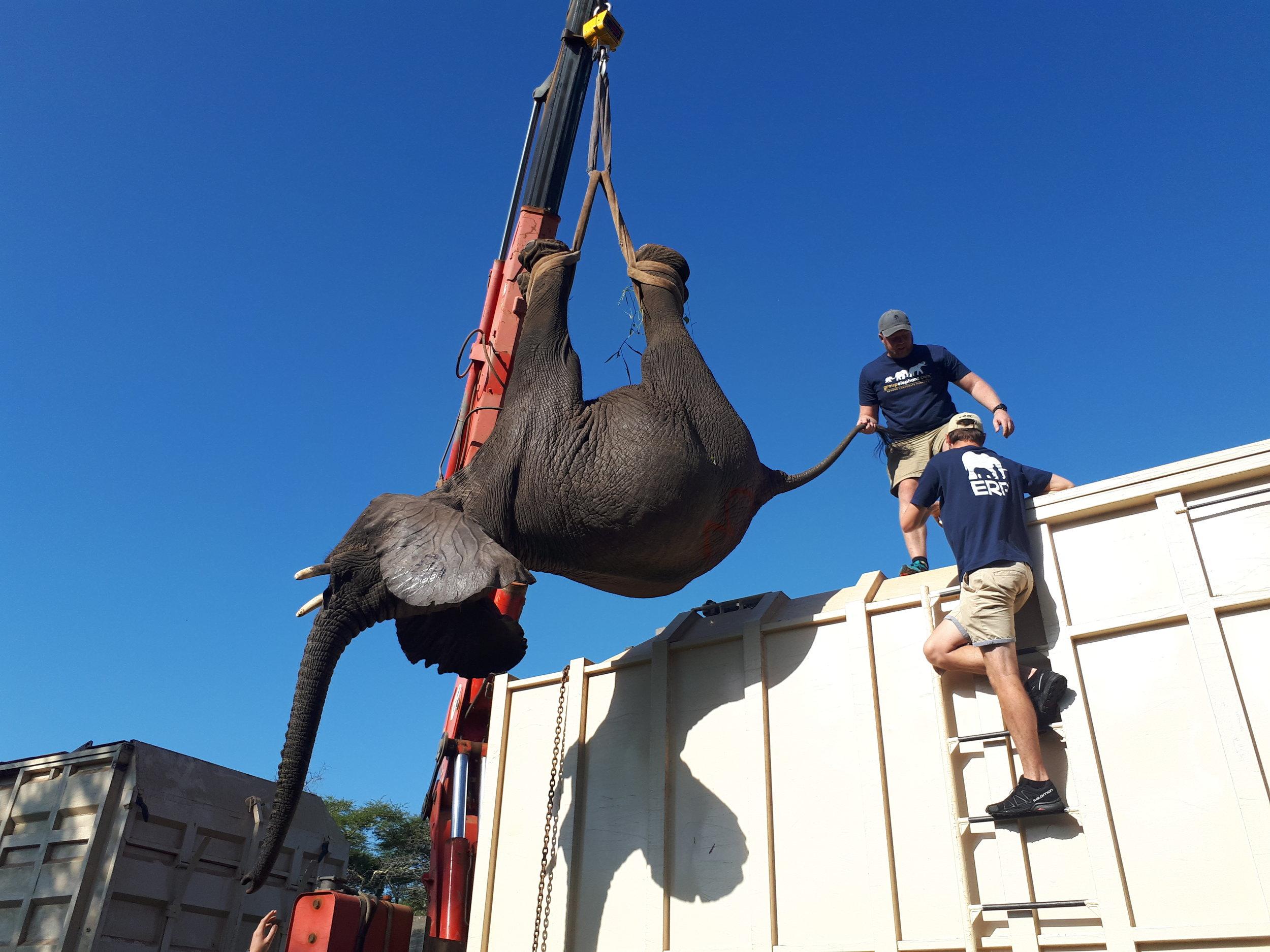 Transferring elephants onto the truck.