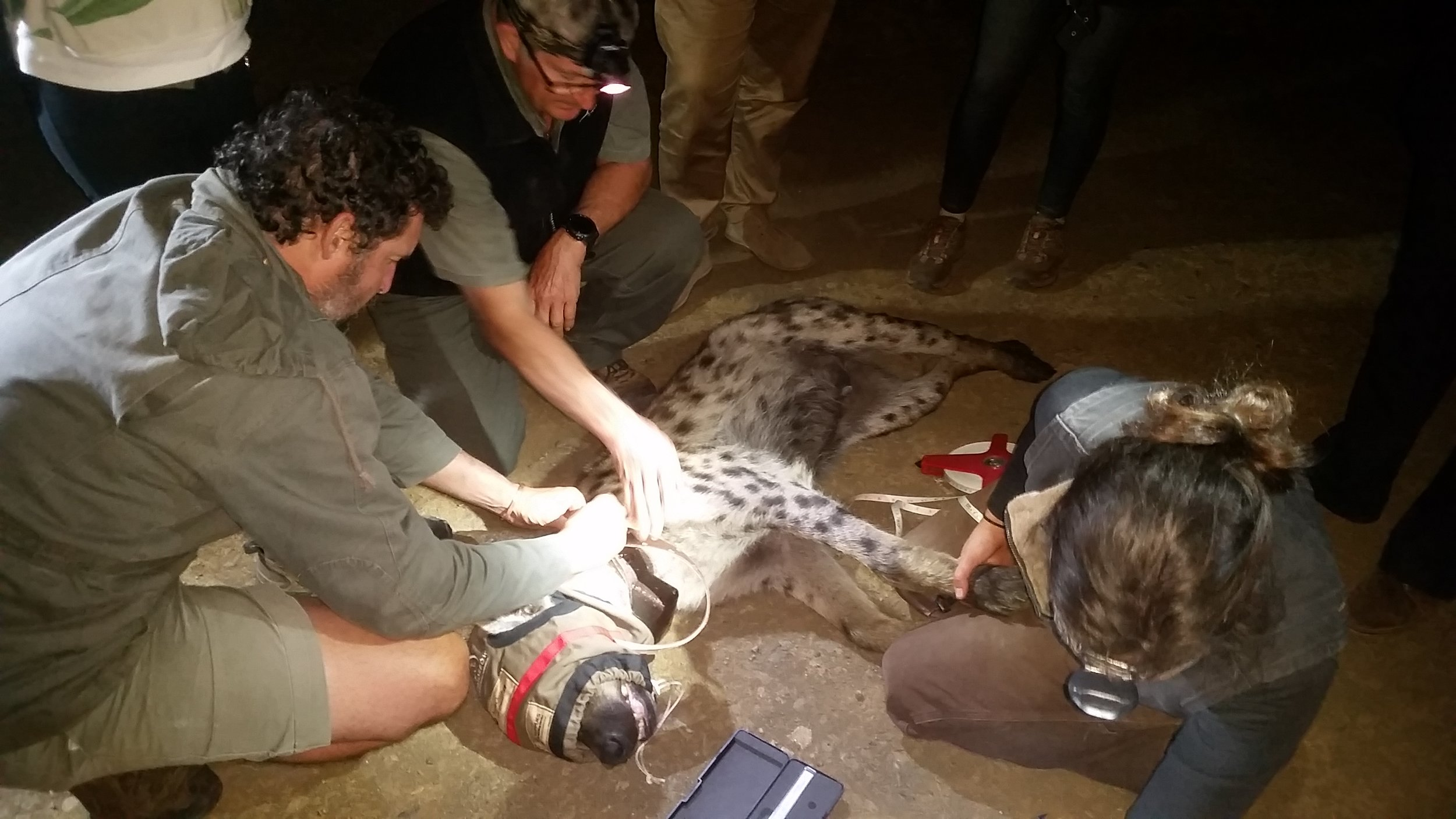 andBeyond Phinda Private Game Reserve conservation manager Simon Naylor, veterinarian Mike Toft and veterinary technician Elin Crockett work to secure the collar to the hyena.
