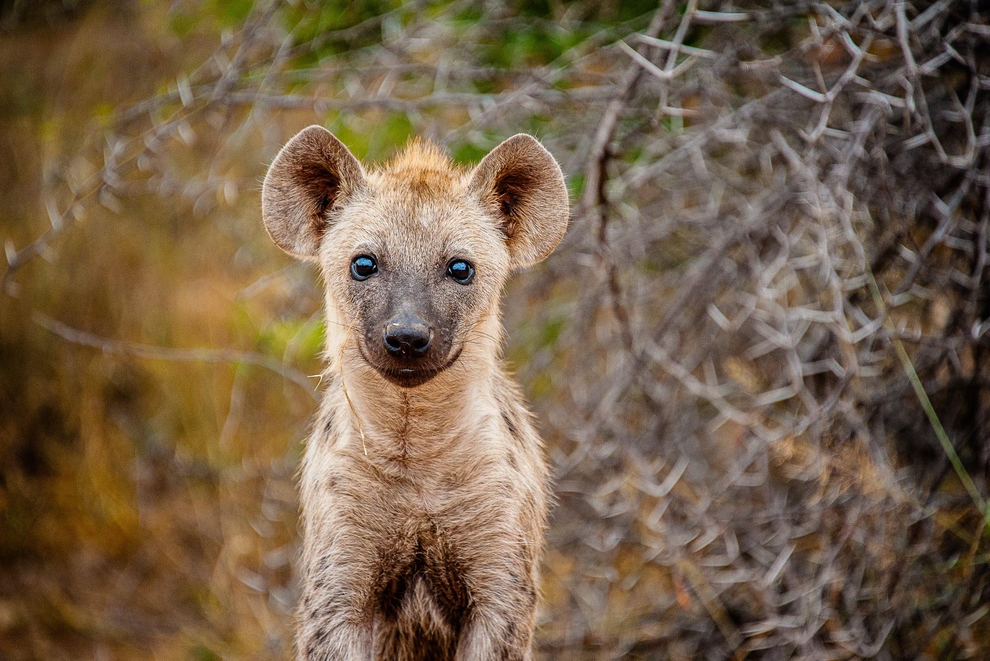 A spotted hyena portrait. Photo credit: Shannon Wild/Wildscreen Exchange