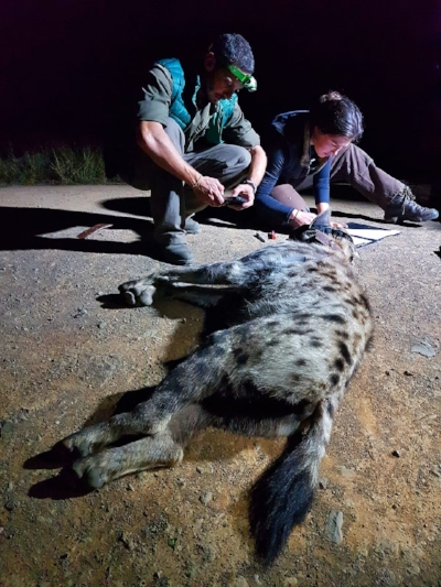 Axel Hunnicutt and Elin Crockett work to collect samples from the male spotted hyena.