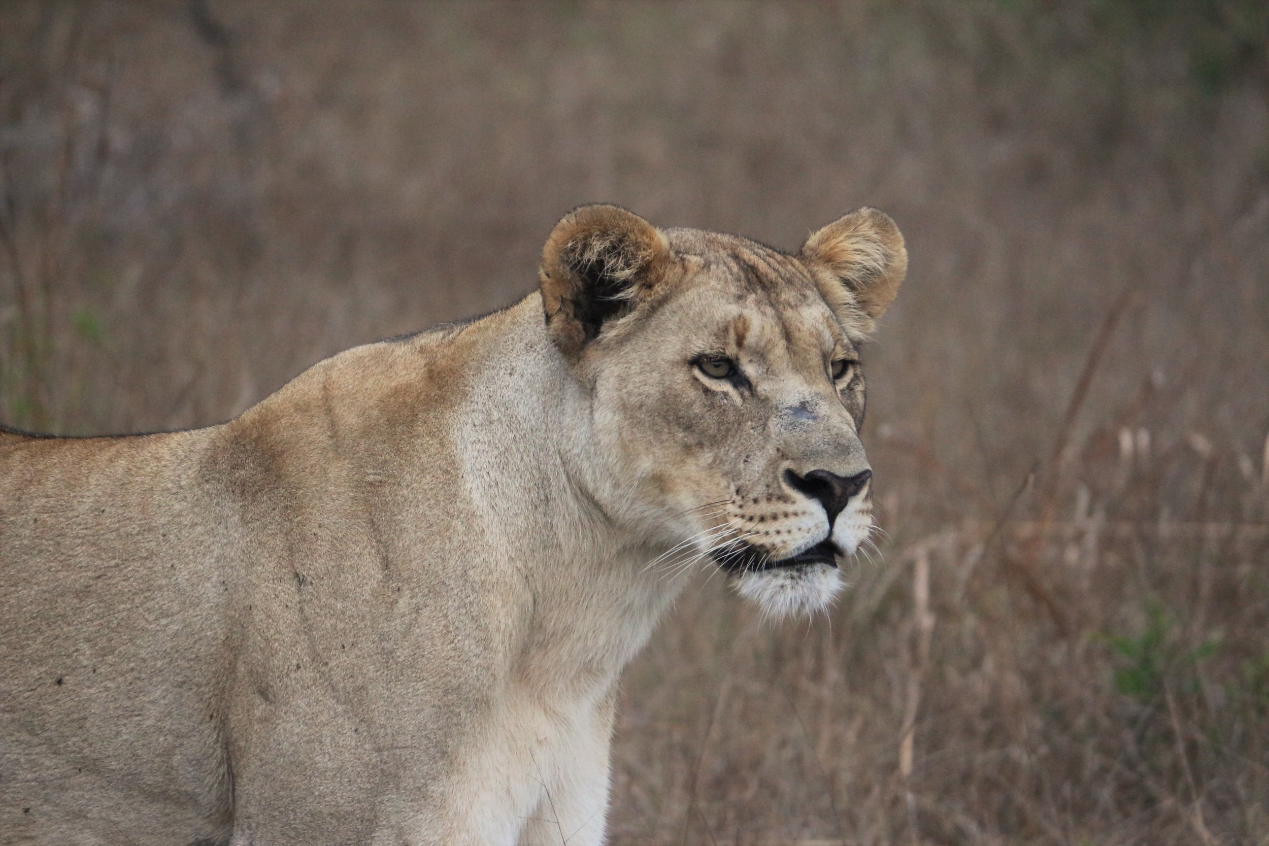 A lioness at Tembe Elephant Park. Photo Credit: Clinton Wright