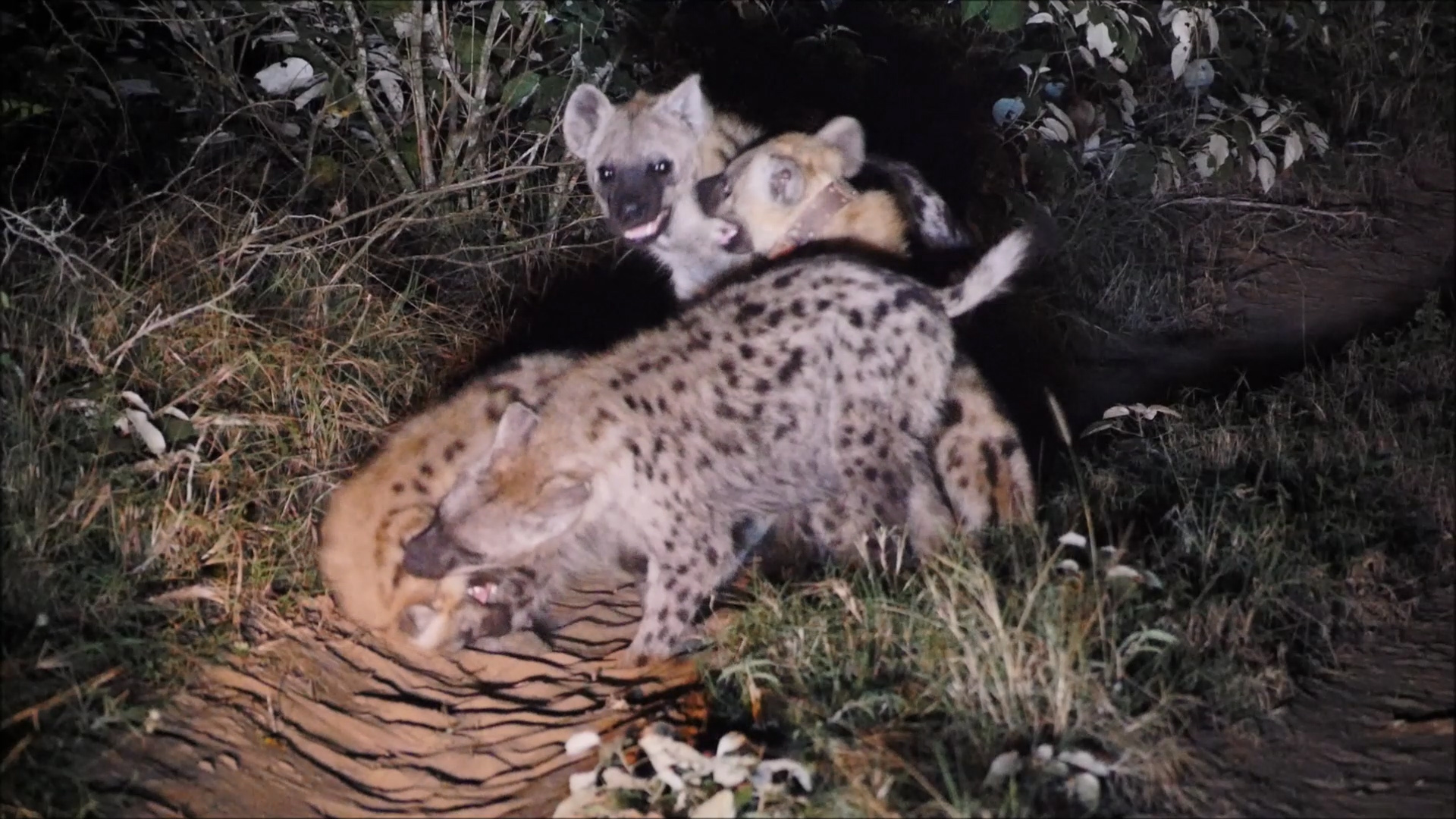 Male hyena #127 was the first to be collared. Here you see him playing and bonding with his clan, including a hyena pup!