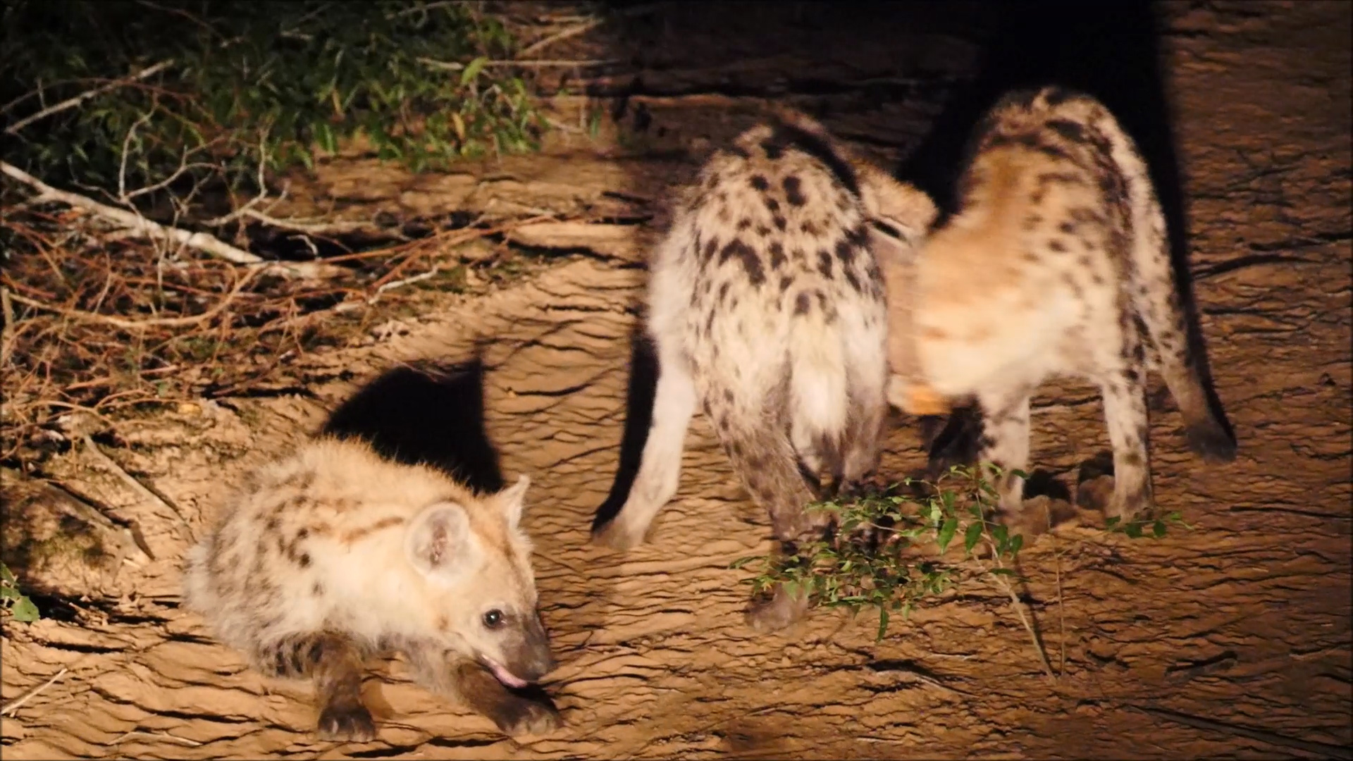 A hyena pup in the foreground, with male hyena #127, the first to be collared.