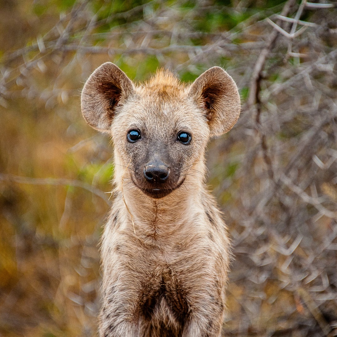 SPOTTED HYENA PROJECT >