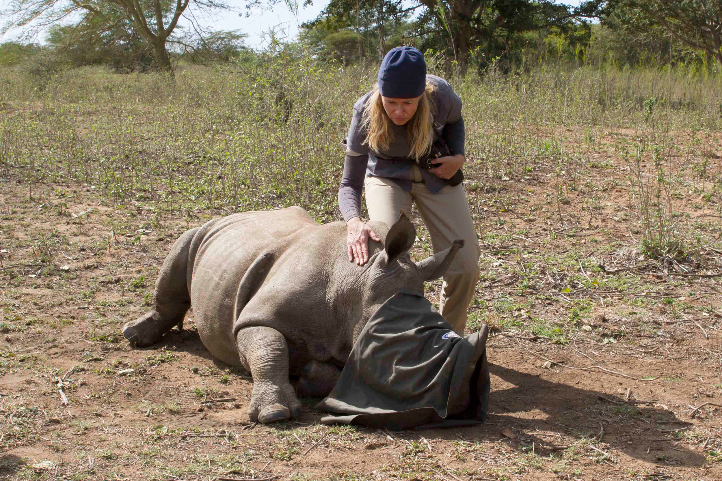 Providing a baby rhino care (it's only sleeping)