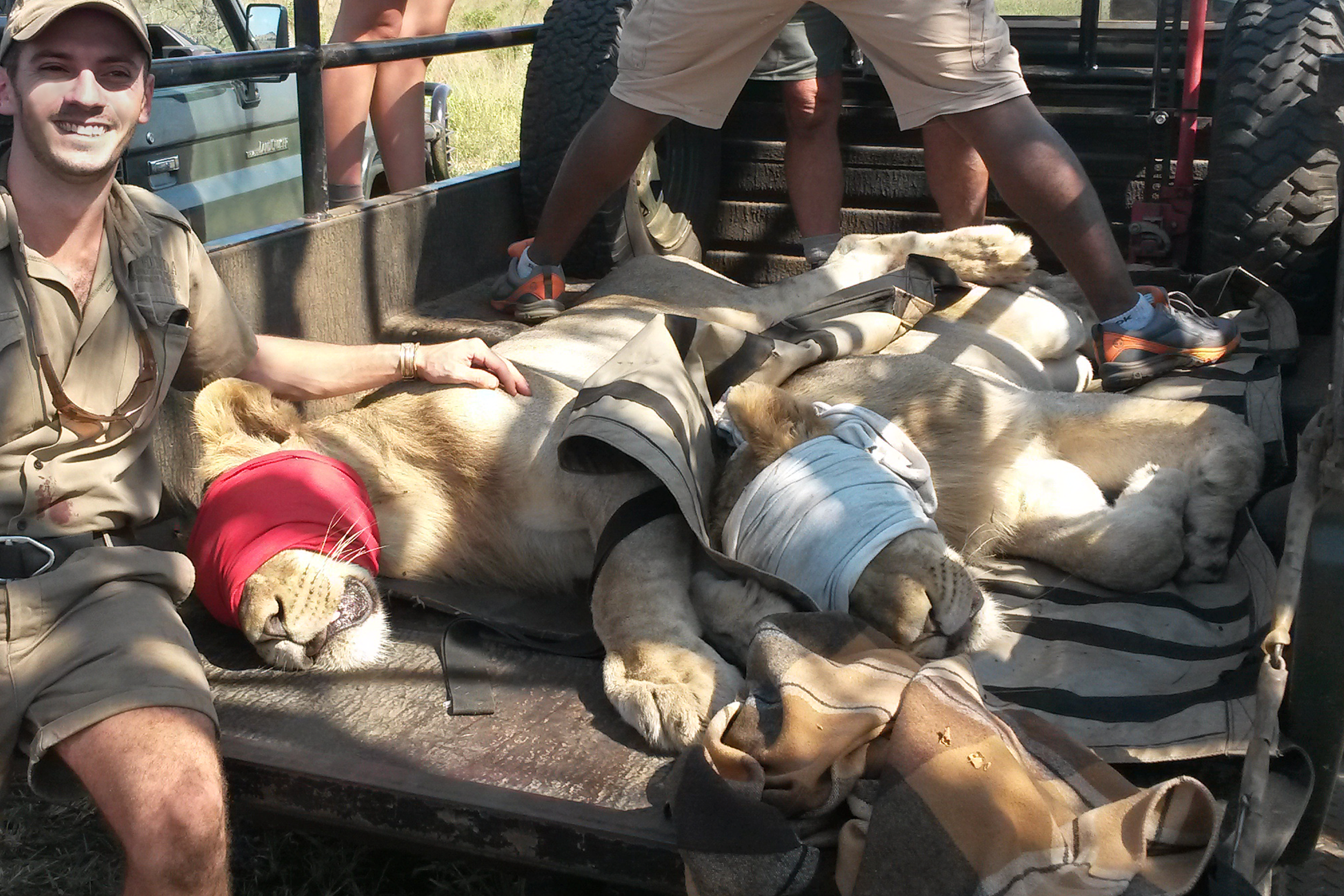 A happy day as we help relocate wild lions