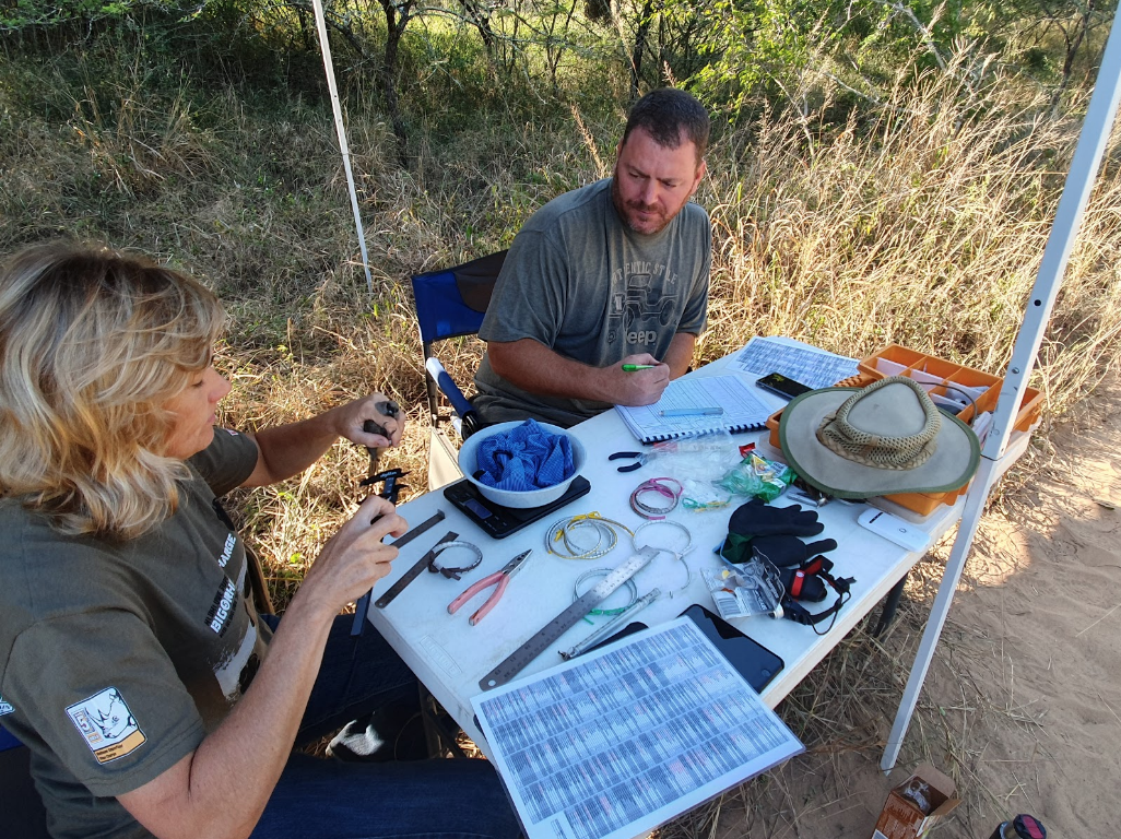 James and Lara collect body measurements on a Speckled Mousebird (Colius striatus).