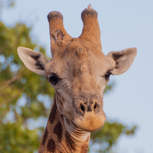 A male South African giraffe. Photo by Wendy Hapgood.