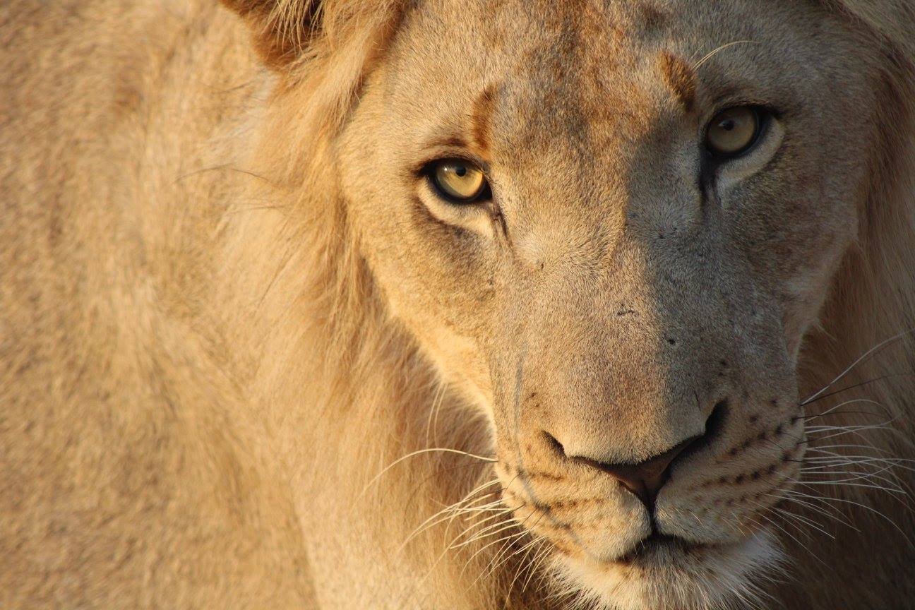 A wild lion at Swaziland's Hlane Royal National Park. Photo Credit: Tori Gray.