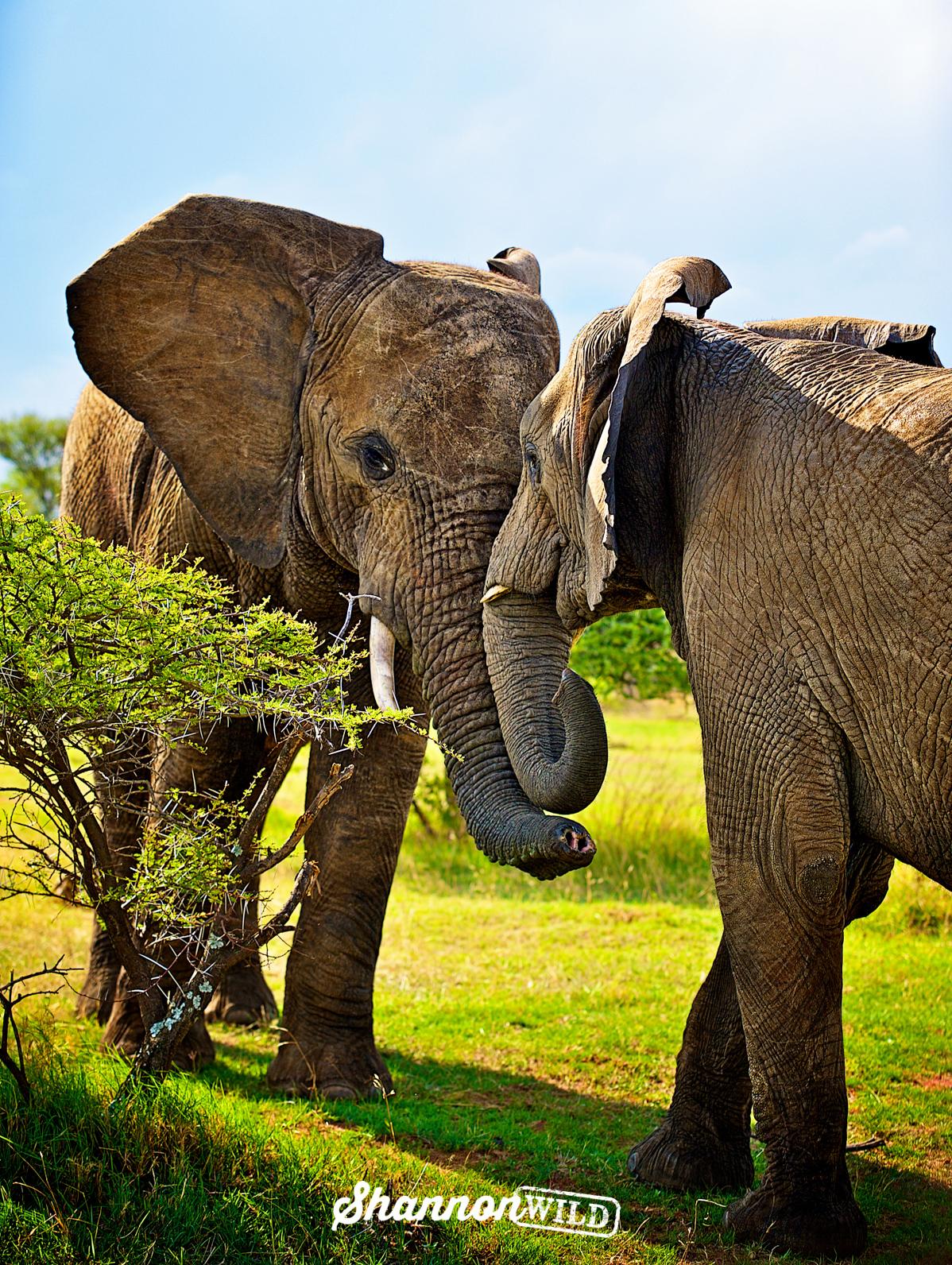 African Elephant (Loxodonta africana), Waterberg SA  002b.jpg