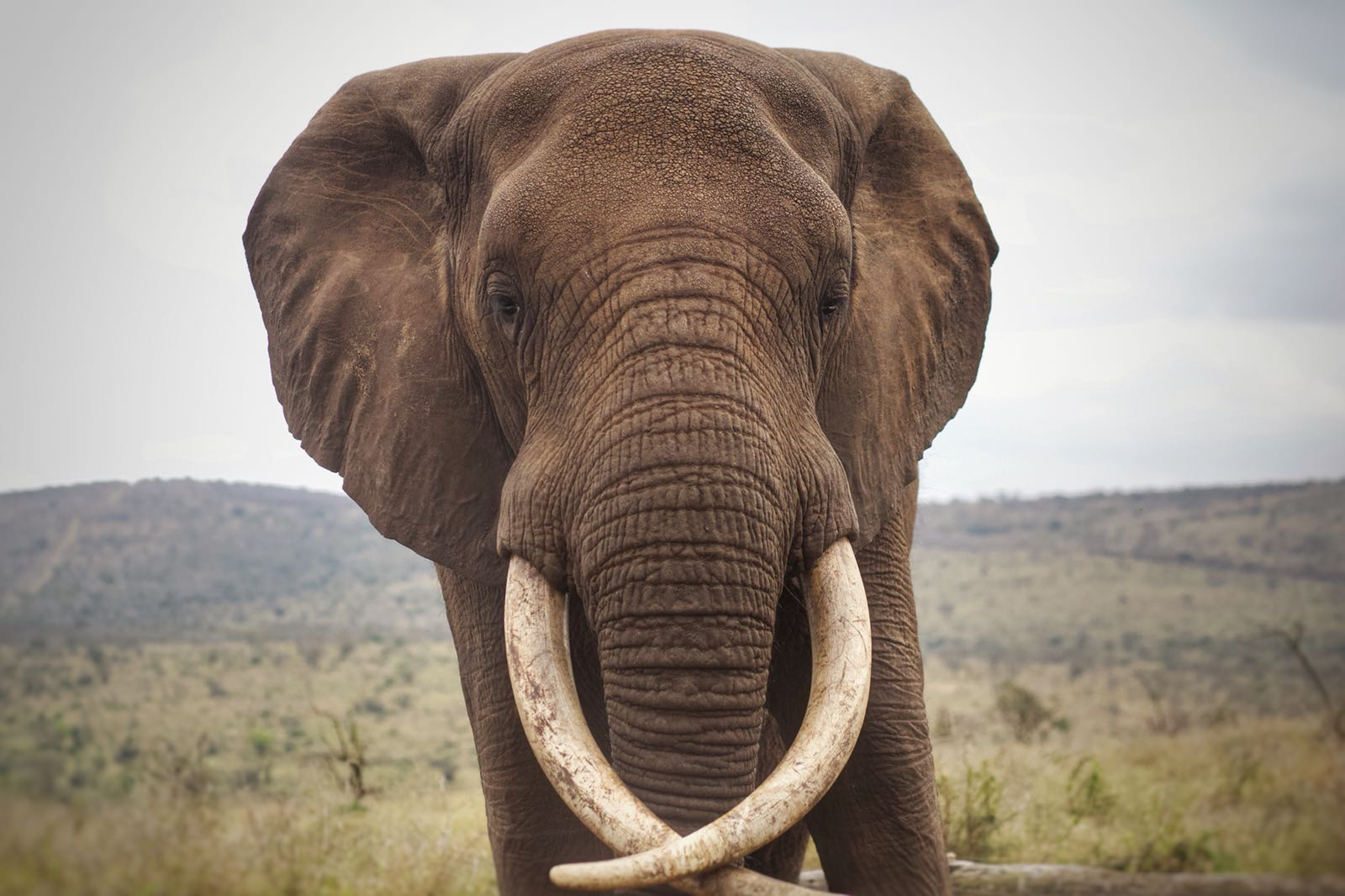 Rambo, a beautiful bull elephant resident at Bayete Zulu Reserve, in KwaZulu-Natal South Africa.