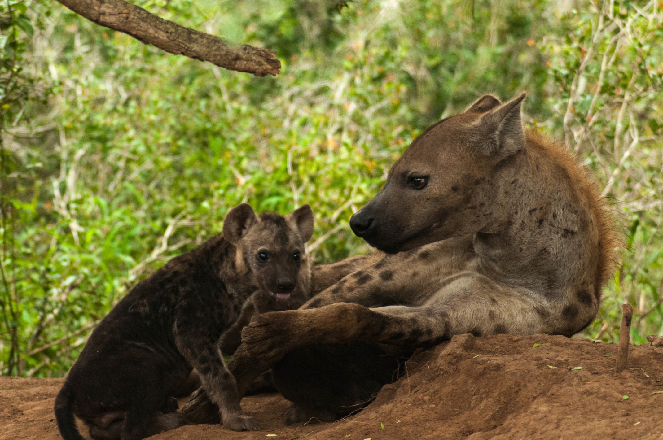 A spotted hyena mother and her cub outside her den. Photograph by Axel Hunnicutt.