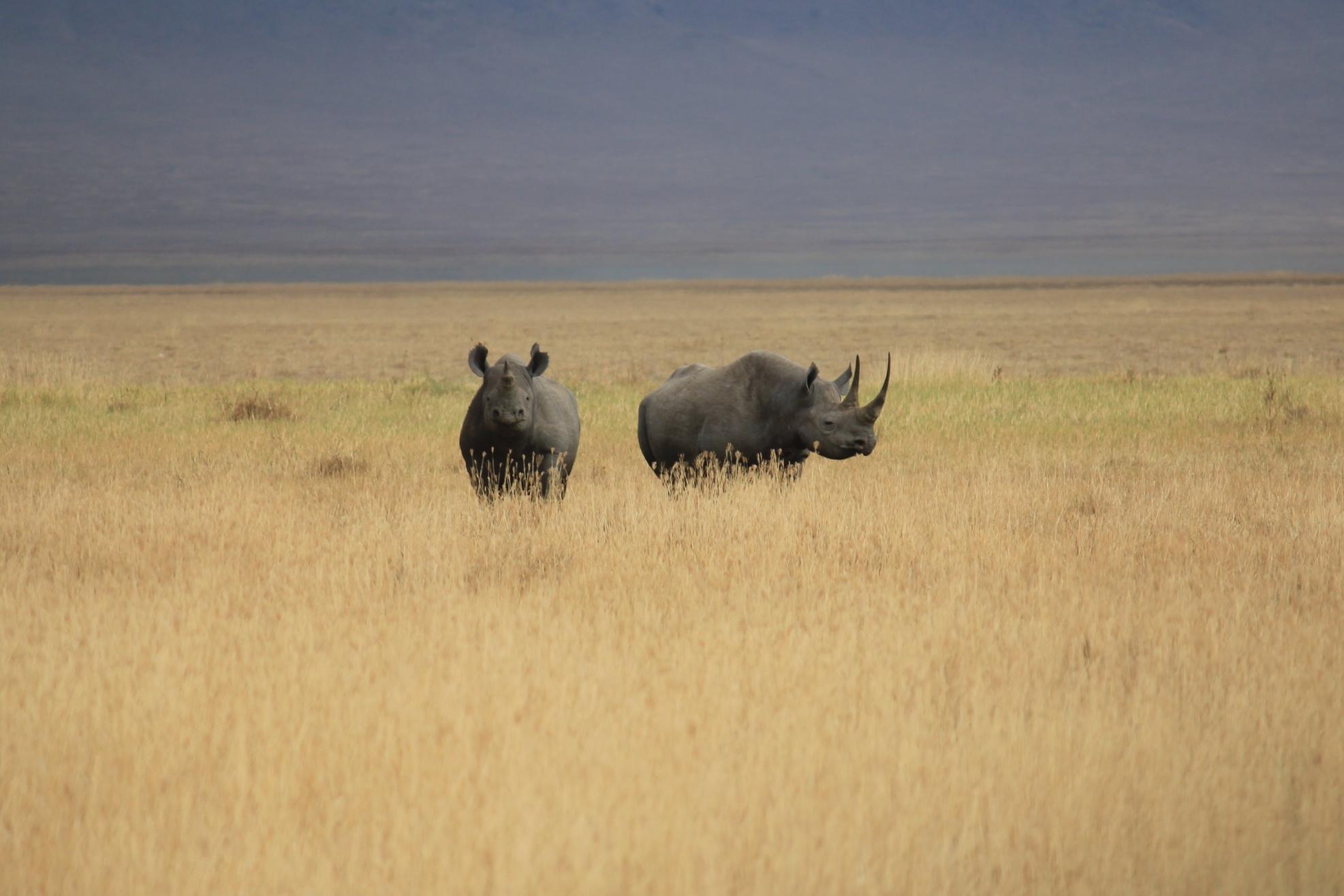 A pair of critically endangered black rhinoceros, Kenya. Photo credit: Peter Mugno.