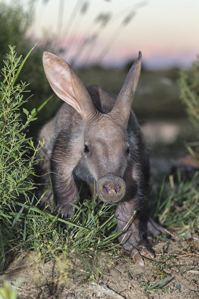 Close-up of an Aardvark. Photo credit: Martin Harvey/WildScreen Exchange.