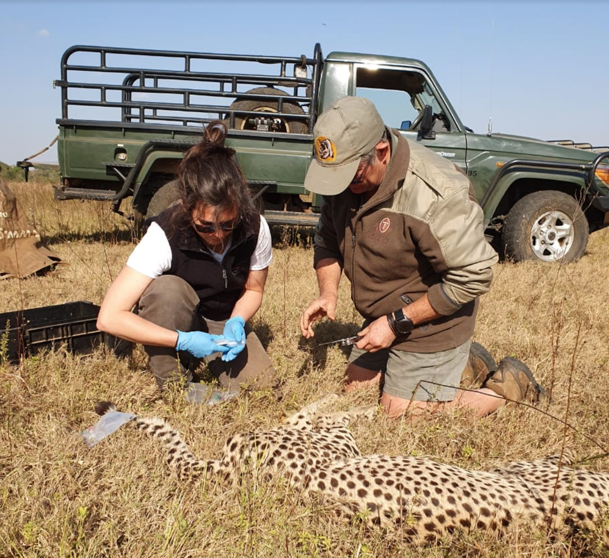 Researcher Elin Crockett collects blood samples alongside Dr. Mike Toft, local Wildlife Veterinarian, from an anesthetized cheetah at Phinda Private Game Reserve.