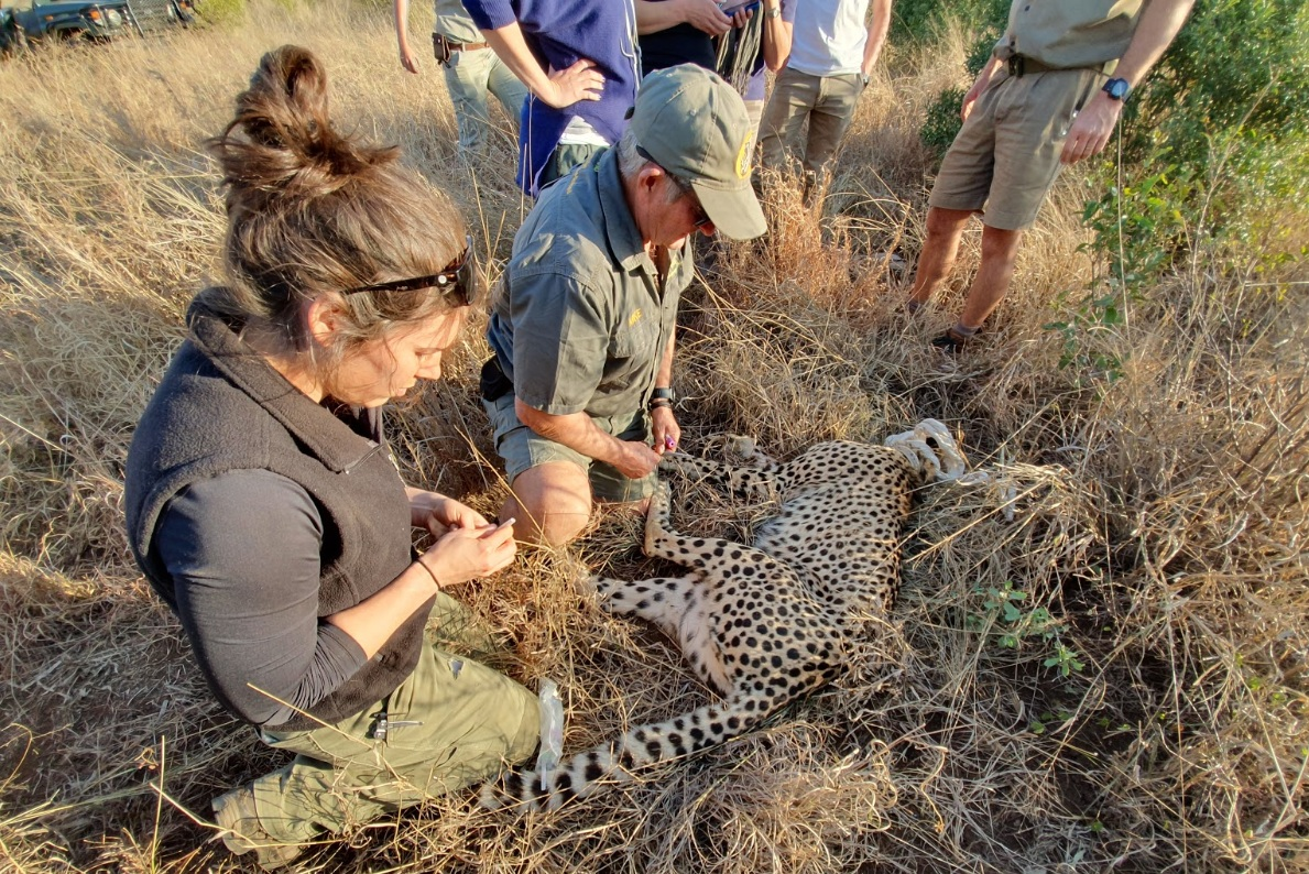 Elin and Dr. Toft collecting samples on a from an anesthetized female cheetah at Phinda.