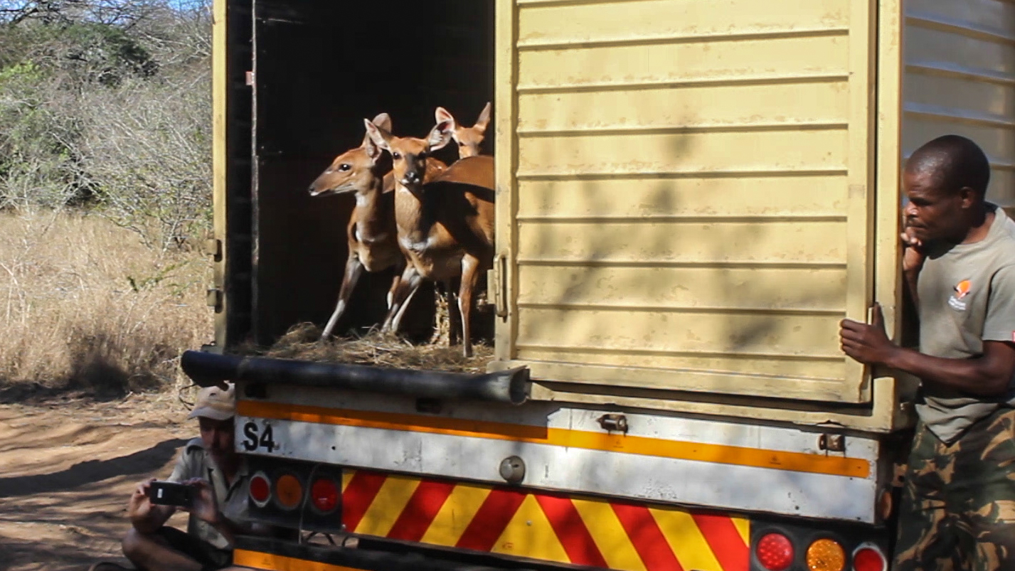 The female bushbuck gingerly look at their new surroundings before jumping out of the truck to complete their journey to Mfuleni.