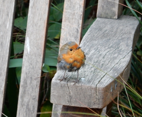 European Robin on an oak bench.