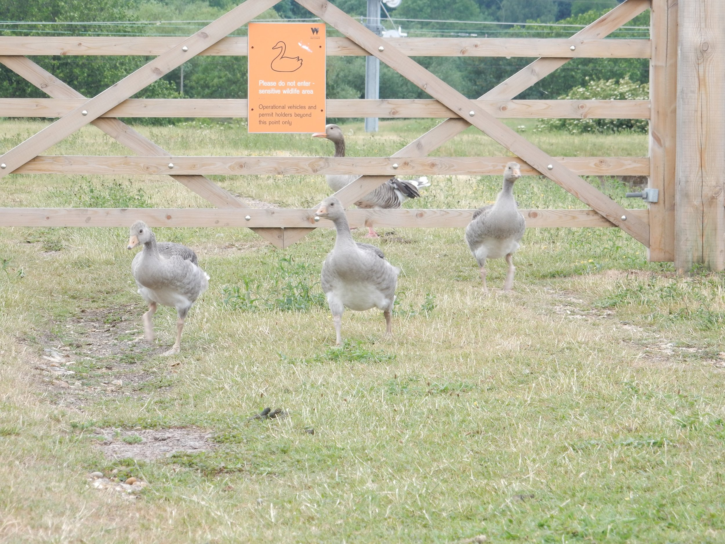 Graylag Geese, or Here Comes Everybody.