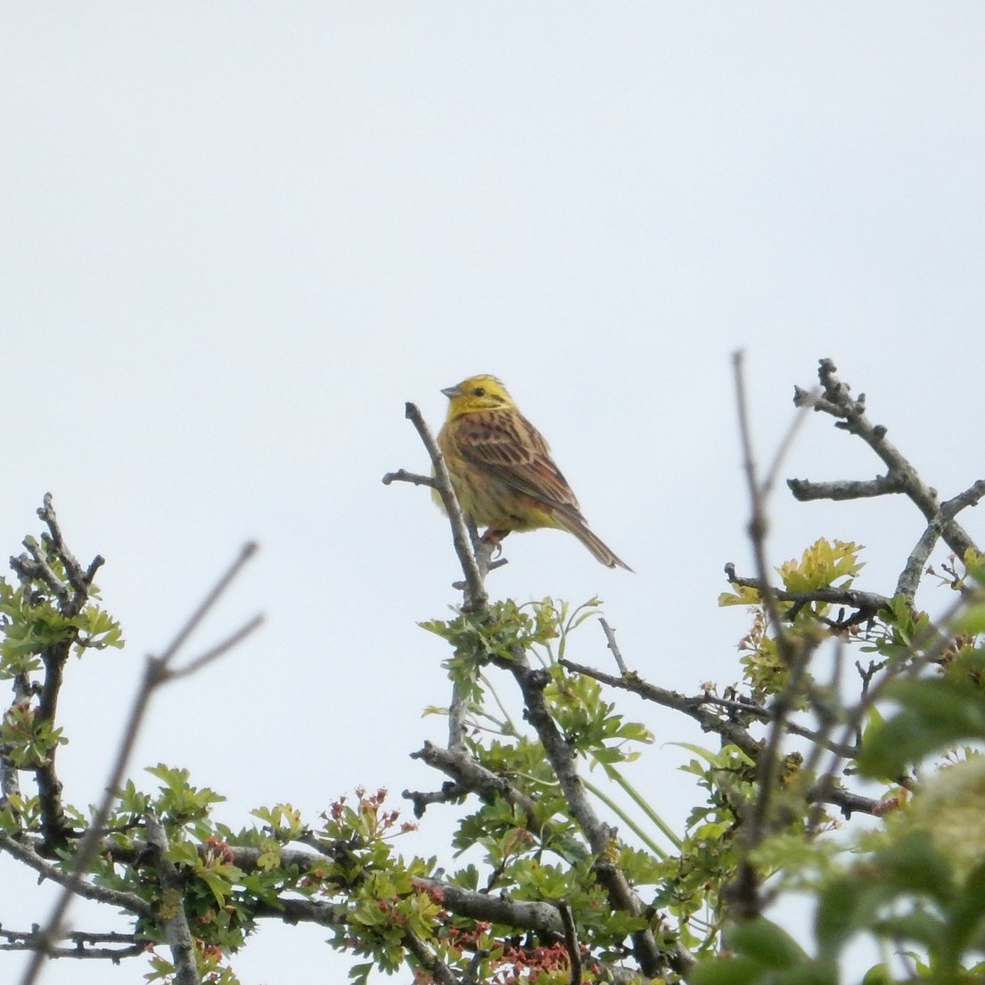 yellowhammer.jpeg