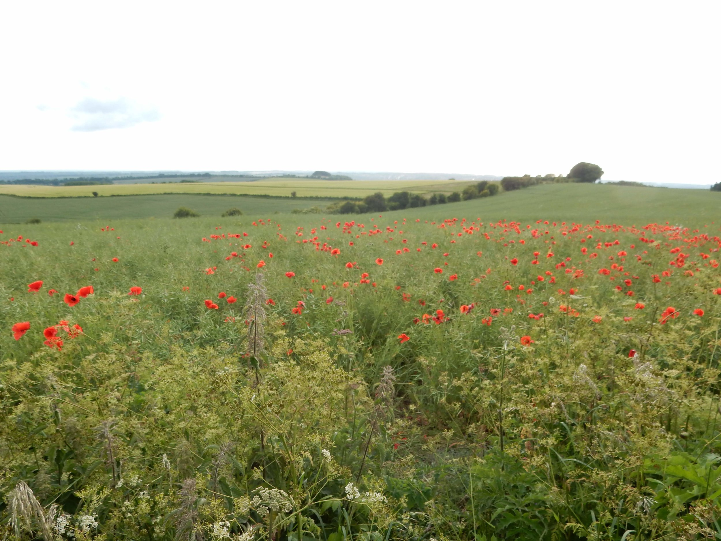 Poppies of Cheesefoot Head.