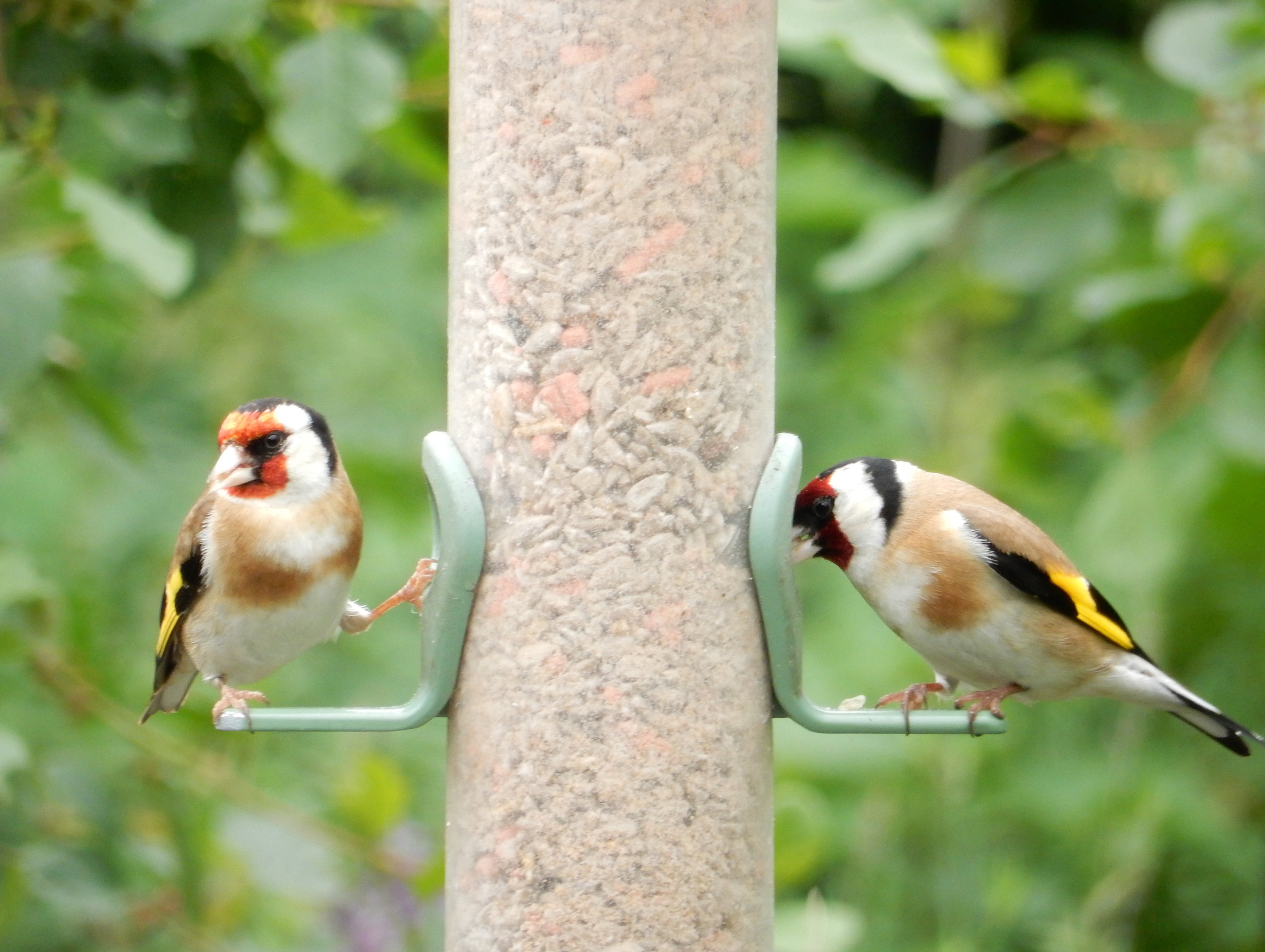 goldfinches-hw.jpg