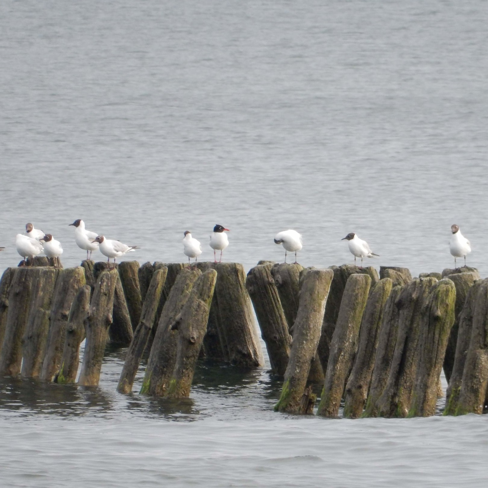 Find the Mediterranean Gull!