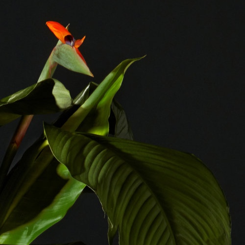 texture-bird-of-paradise.jpg