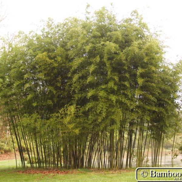 "Phyllostachys artrovaginata  - aka ""Incense Bamboo"""