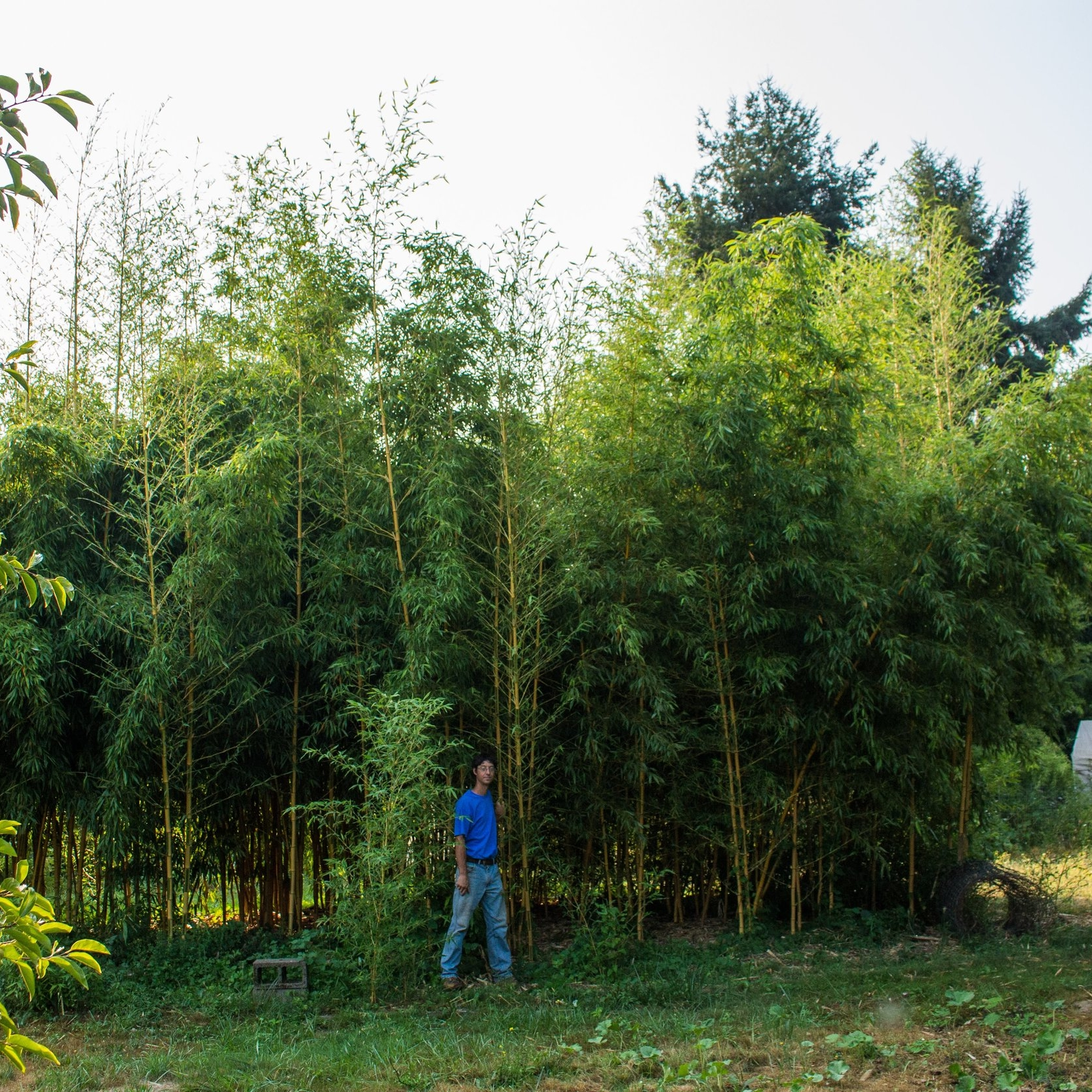 "Phyllostachys bambusoides - aka ""Castillon"""