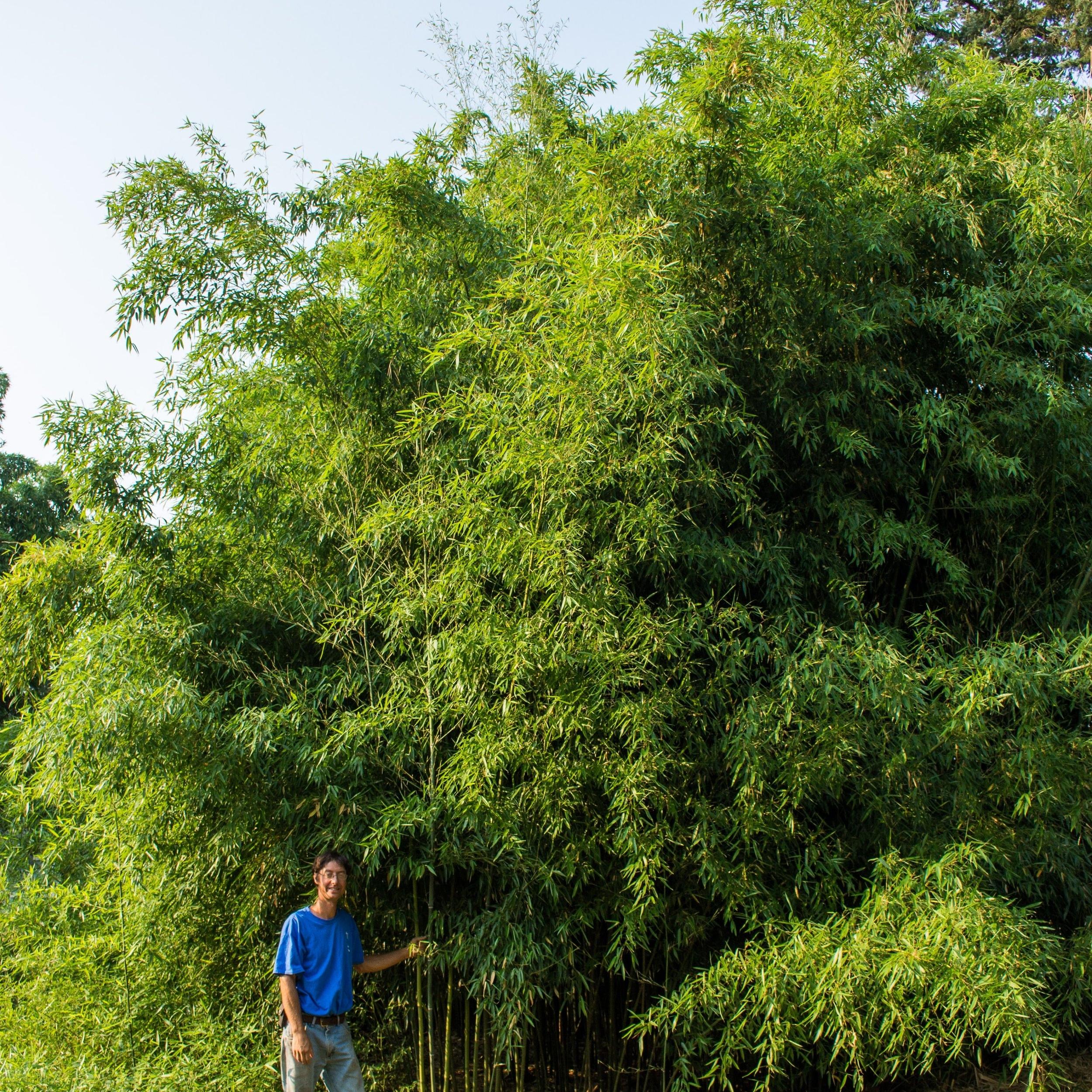 "Phyllstachys heteroclada - aka ""Water Bamboo"""