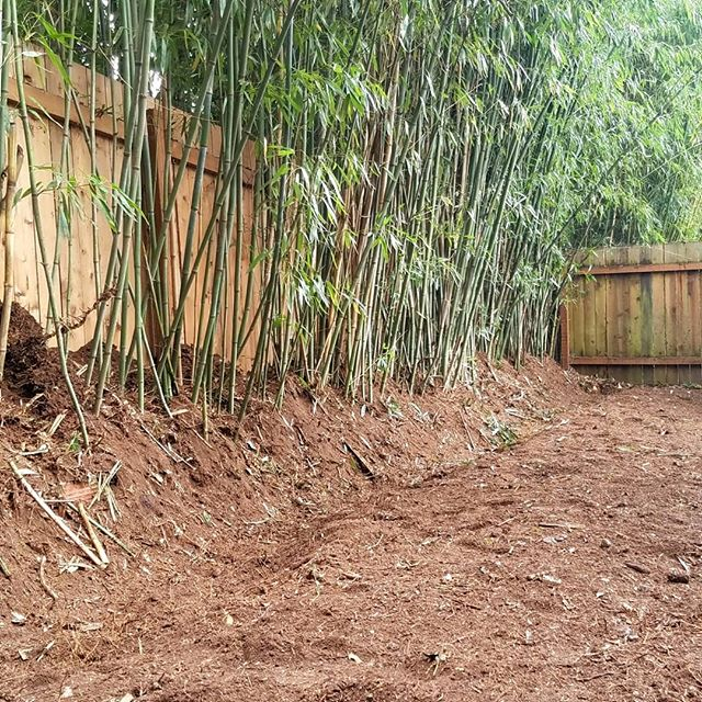 Henon and bissetii bamboo pulled back from the yard. We create the control trench and then berm it up for easy future maintenance. Keep the privacy, but lose the runners!