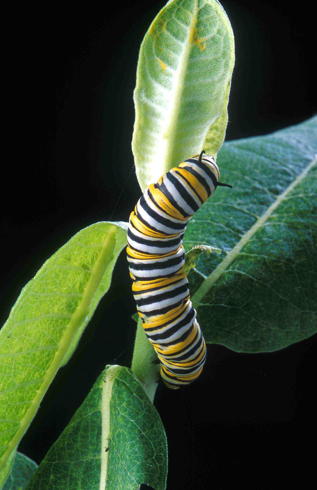 Milkweed is the only food source of the monarch caterpillar and the only plant where the butterfly lays eggs.