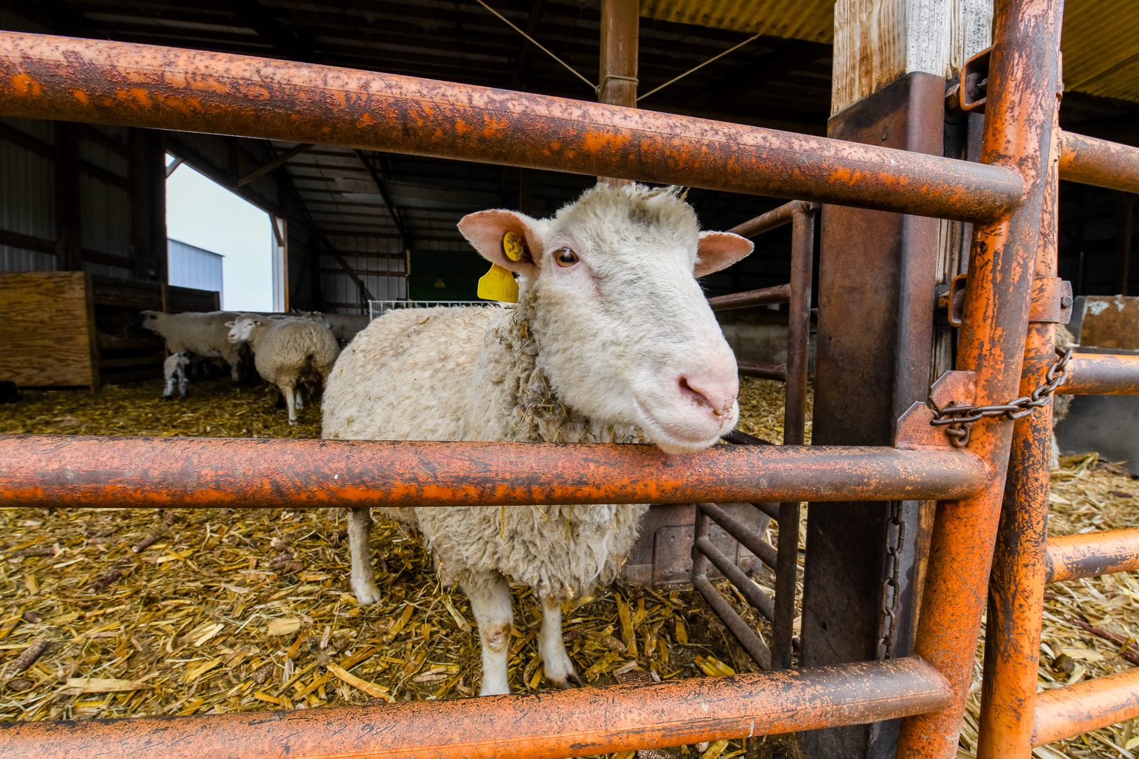 An expecting ewe looks through the gate at Walton's farm as some of his newborn lambs nurse in the background.
