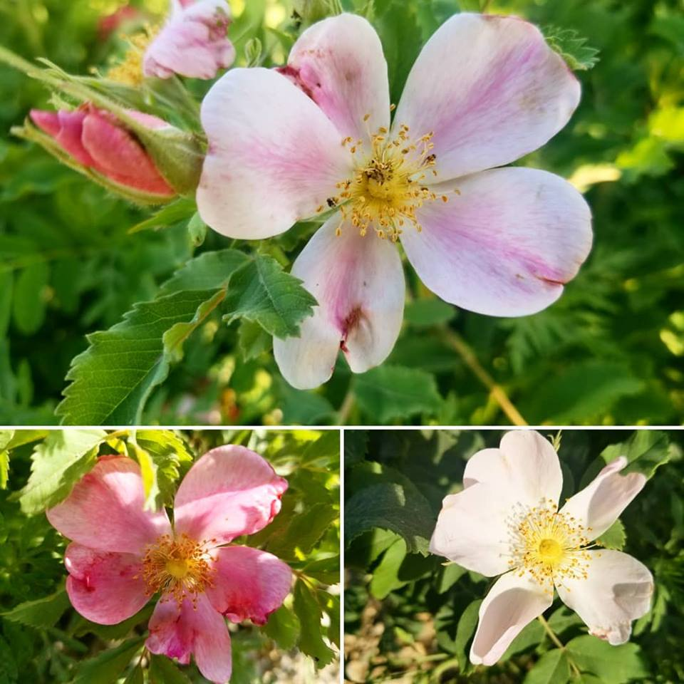 Wild roses, which are Iowa's state flower, bloom along gravel roads in June. Photo credit: Darcy Dougherty Maulsby