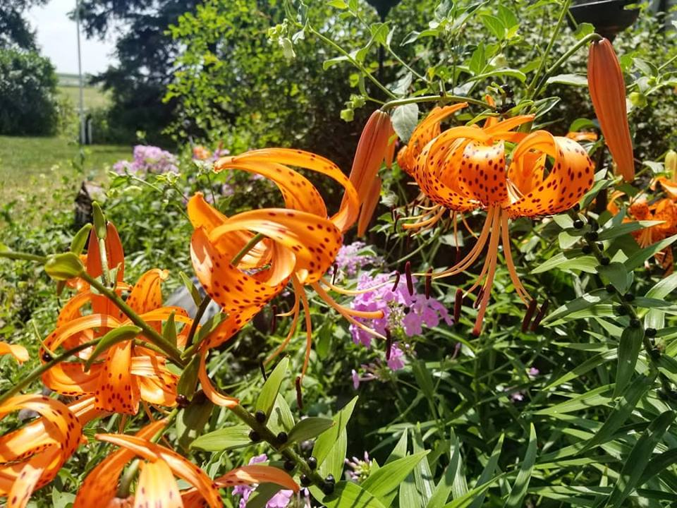 Tiger lilies connect generations of family on Darcy Maulsby's Century Farm. Photo credit: Darcy Dougherty Maulsby