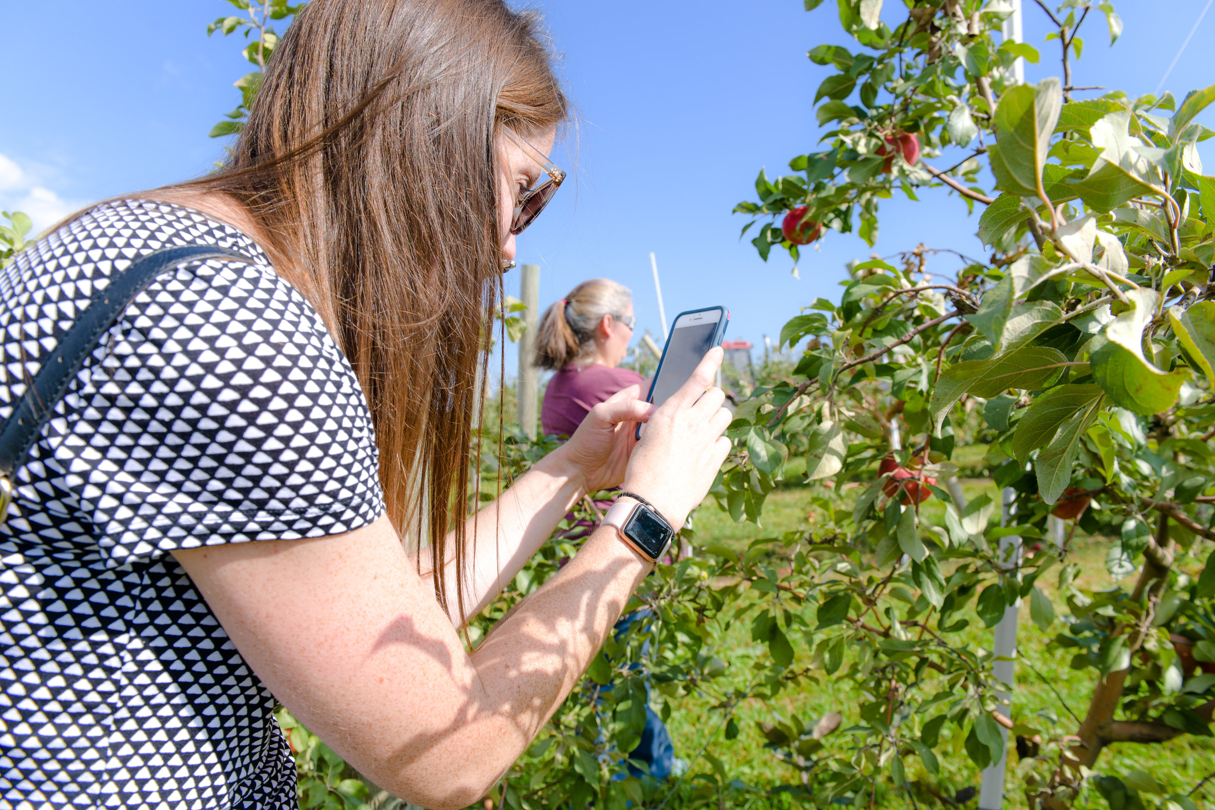 Apples grow on a trellis system to improve efficiencies in production per acre. Photo credit: Joseph L. Murphy/Iowa Soybean Association