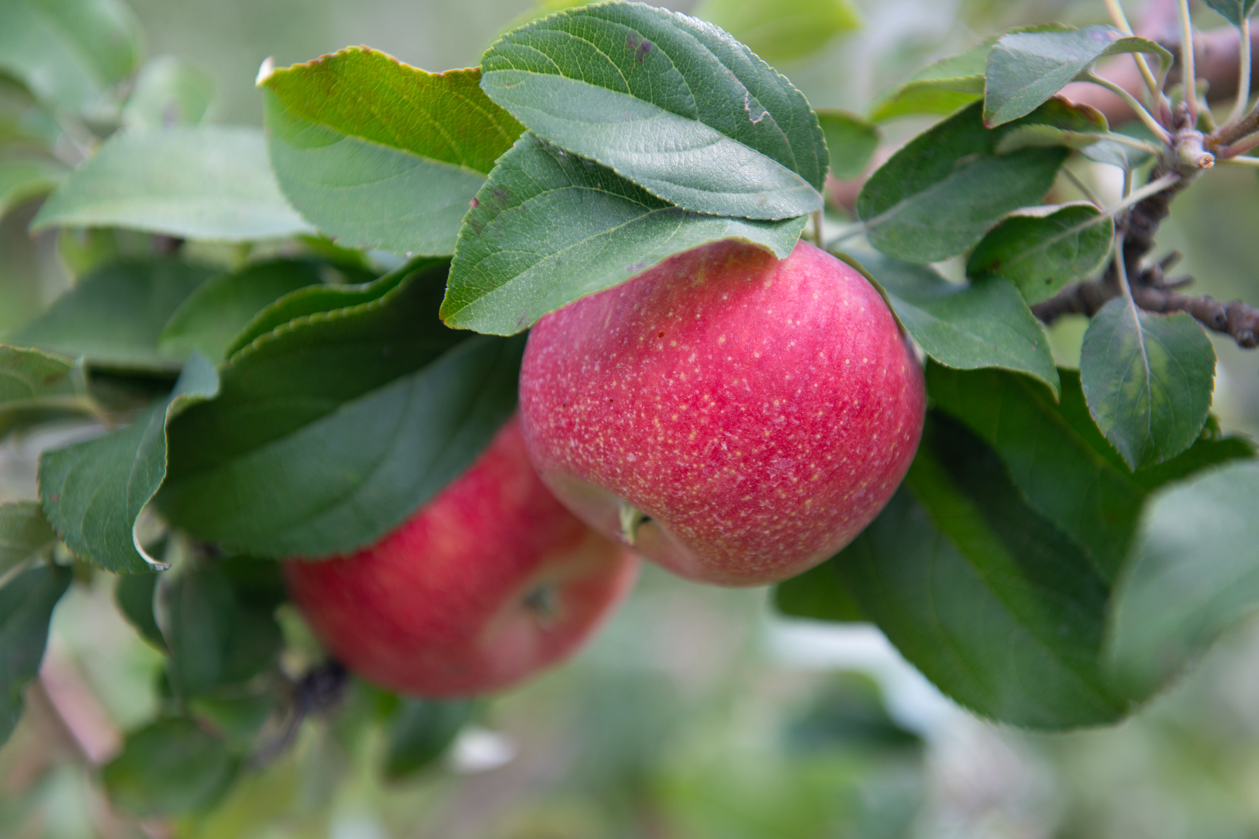 Center Grove Orchard has more than 6,000 apple trees. Photo credit: Joseph L. Murphy/Iowa Soybean Association