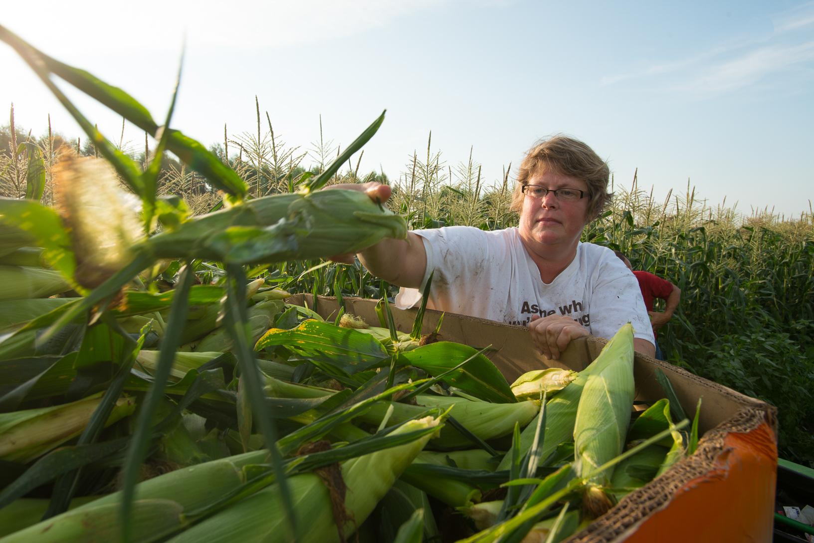 The Van Manen Family Farm in Kellogg grows sweet corn for the Food Bank of Iowa. Photo credit: Joseph L. Murphy/Iowa Soybean Association