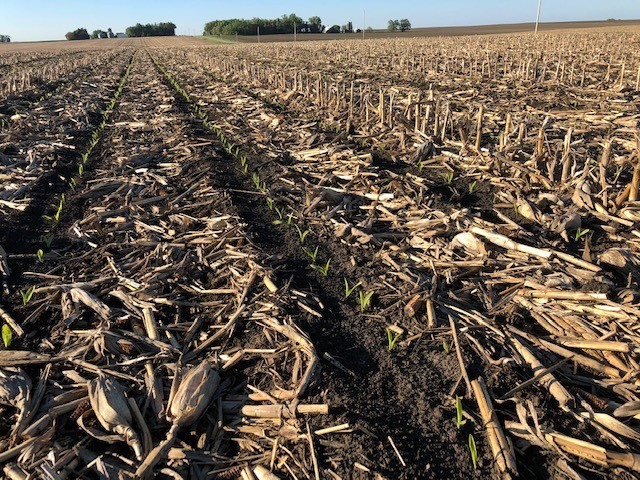I planted one field of corn following last year's corn. Strip injecting fertilizer and moving residue away from the seedling corn row helps a great deal in our soils. This field is not out-of-the-woods but is off to a good start especially considering the 2019 planting season. Photo credit: Tom Oswald