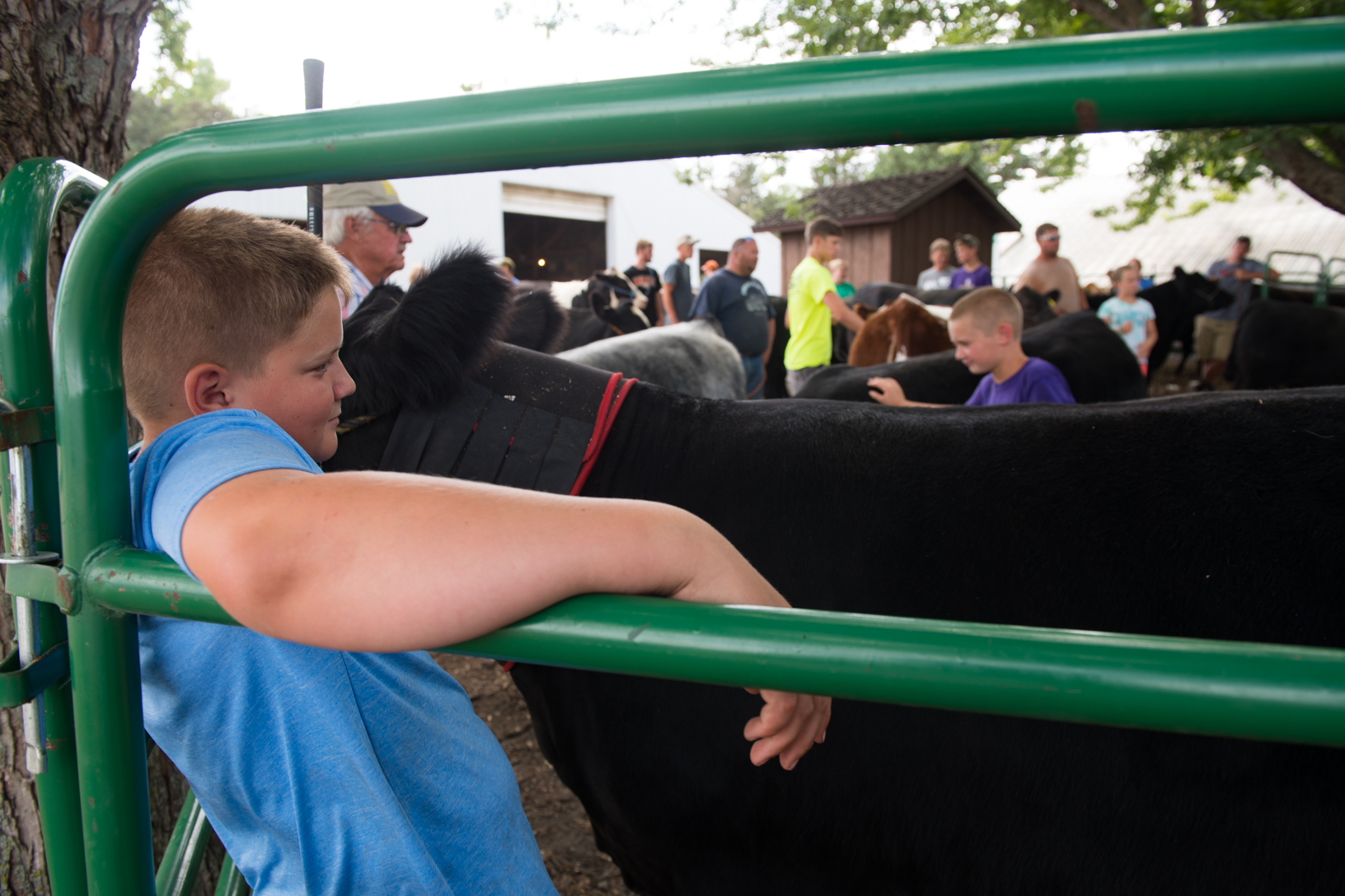 Cale Jensen relaxes with Bella, his Angus heifer, during a practice session at the Bremer County Fair in Waverly. Photo credit: Joseph L. Murphy, Iowa Soybean Association