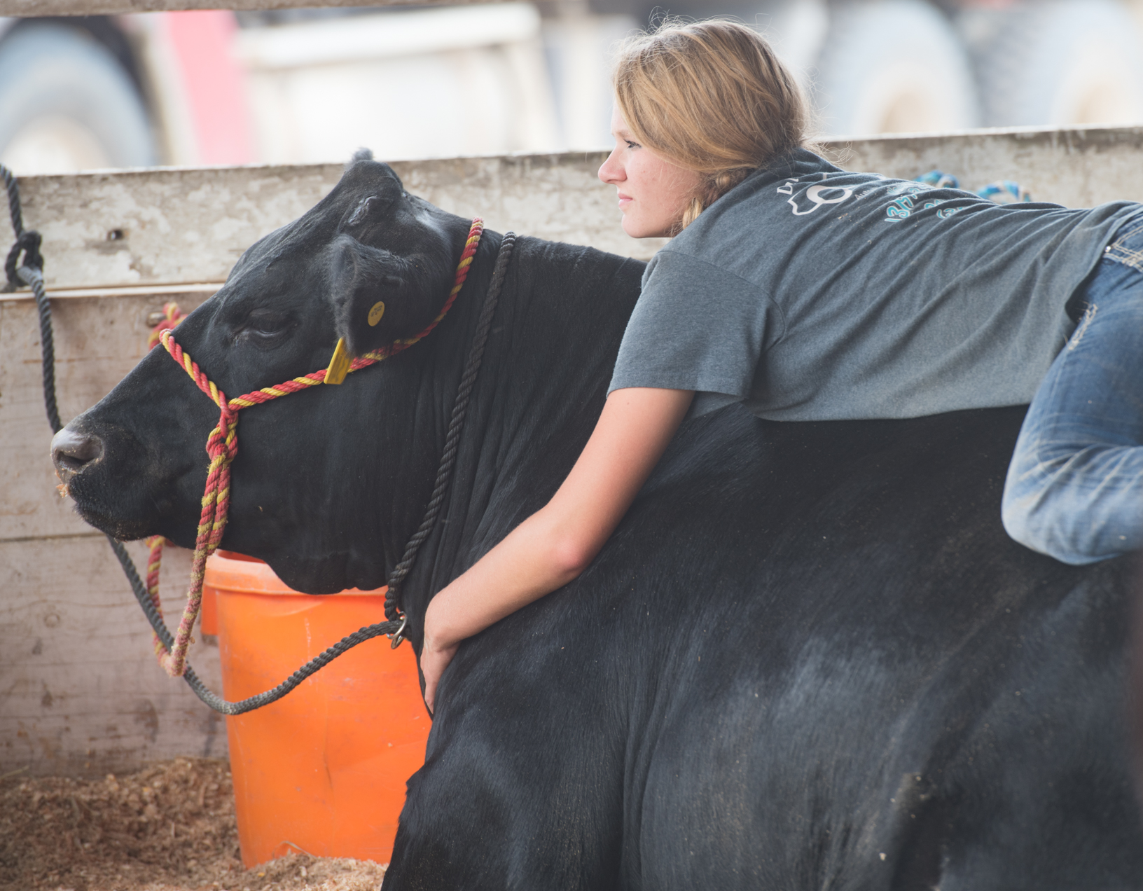 Katelyn Bartels of Sumner relaxes on her steer while visiting with friends at the Bremer County Fair in Waverly. Photo credit: Joseph L. Murphy, Iowa Soybean Association