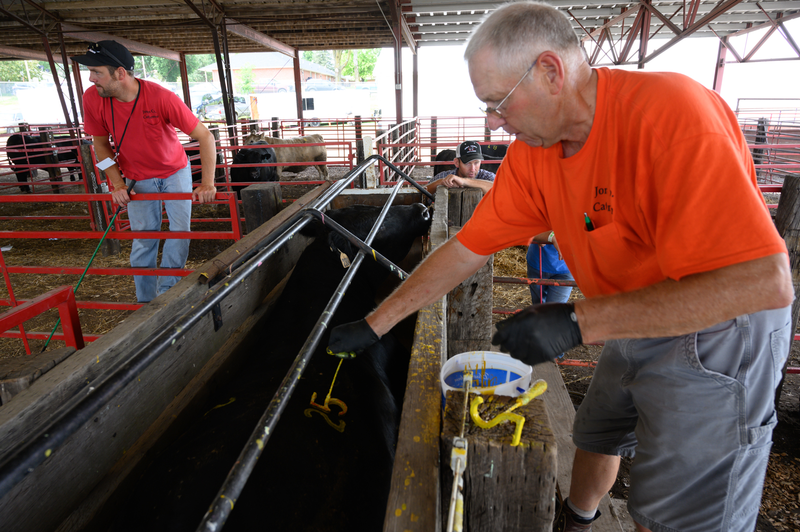 Ralph Hoch applies identifying numbers to cattle before the Prime Steer show at the Jones County Fair. The show has been a constant at the fair since 1949. Today the winning price of $1,000 is the same as it was in 1949. Photo credit: Joseph L. Murphy/Iowa Soybean Association