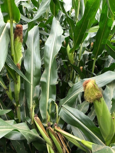 This photo shows corn with brittle snap after pollination. The snapped nodes are now discolored and below the ear shoots. There will be no harvestable ears on these plants. Photo credit: Tom Oswald.