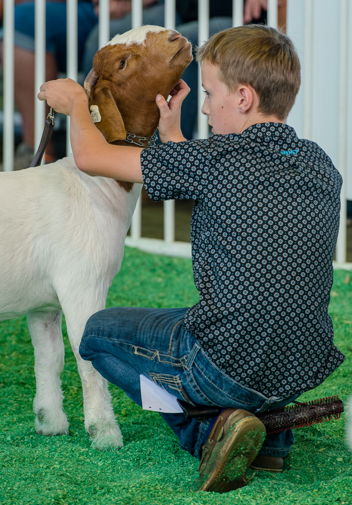 Blake Reynolds, Earlham, scratches his goat's neck while waiting for a decision from the judge in the Open Goat Show. Photo credit: Joseph L. Murphy/Iowa Soybean Association