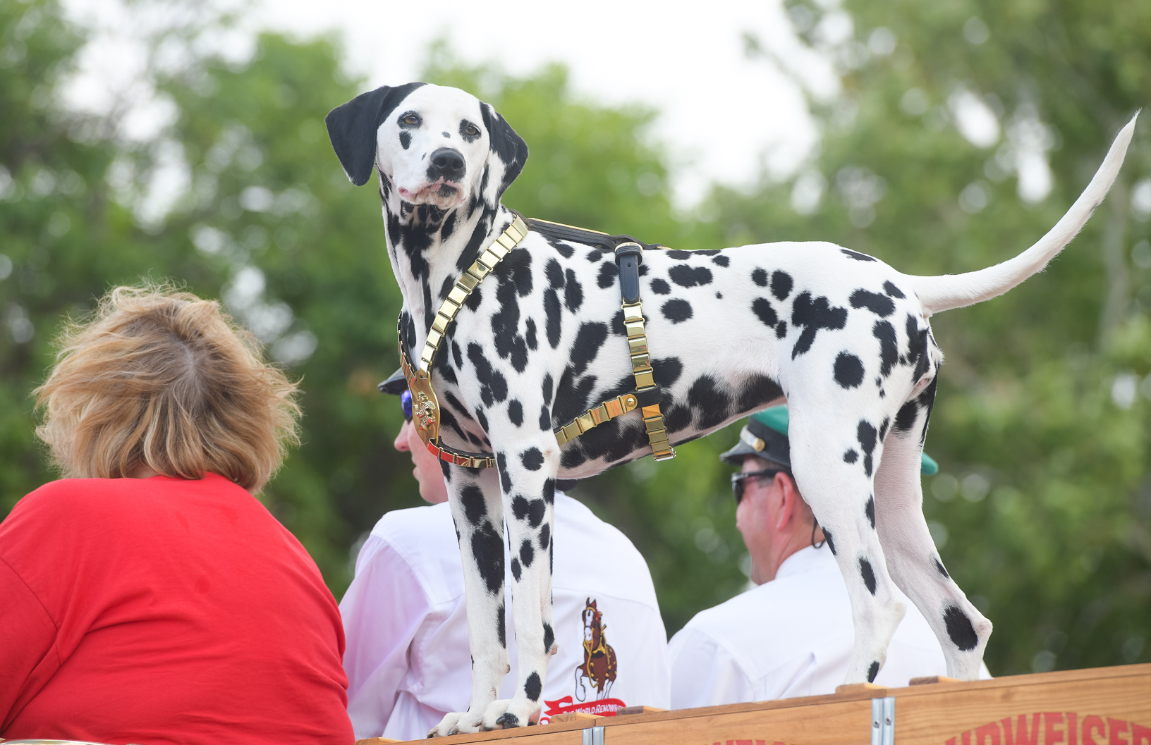 August the Dalmatian watches the crowd from atop of the Budweiser wagon during a parade through the Iowa State Fairgrounds. Photo credit: Joseph L. Murphy/Iowa Soybean Association
