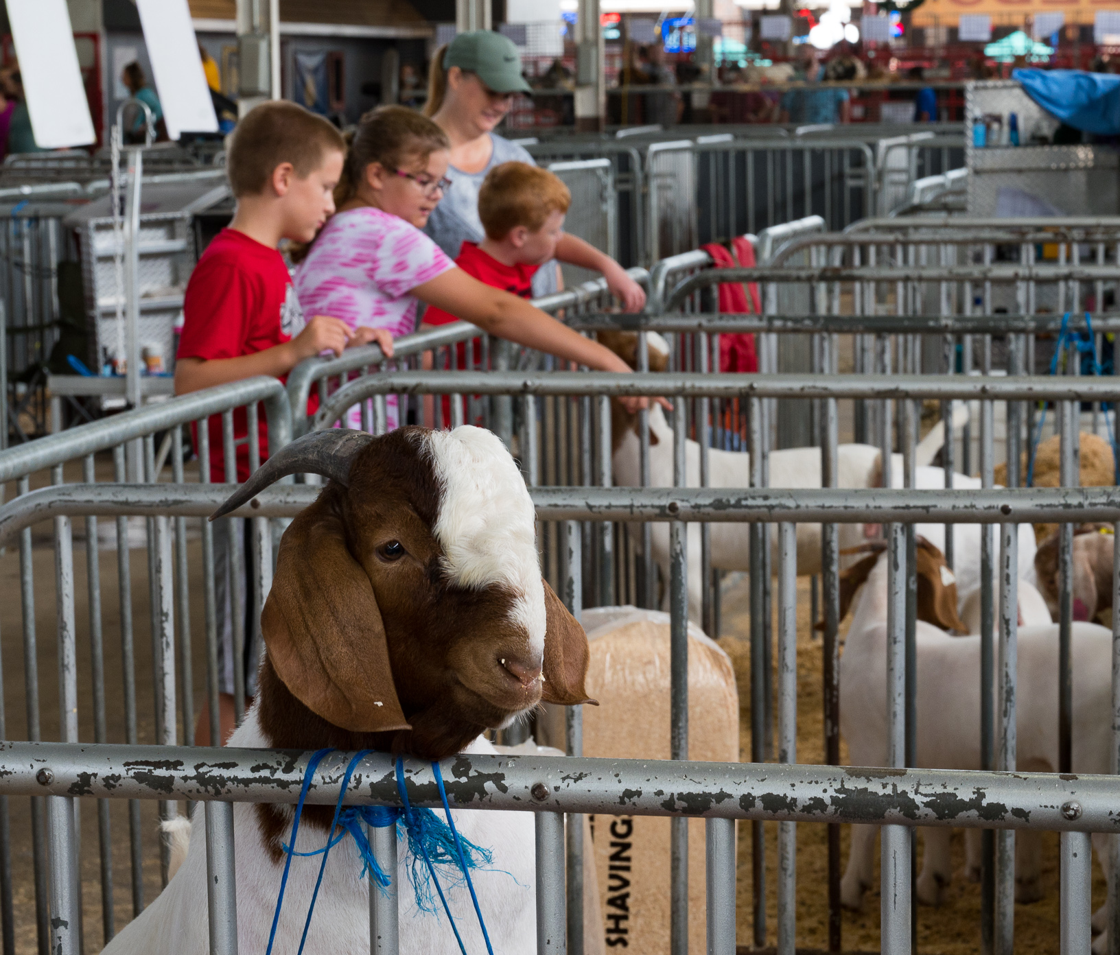 A goat looks for attention as fairgoers visit the livestock barns at the Iowa State Fair. Photo credit: Joseph L. Murphy/Iowa Soybean Association
